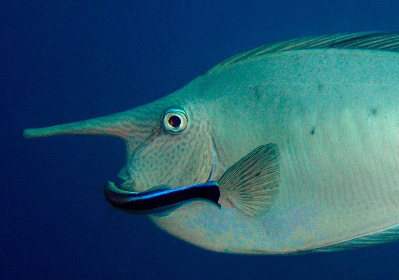 (Unicorn) Surgeon Fish - Great Barrier 2007