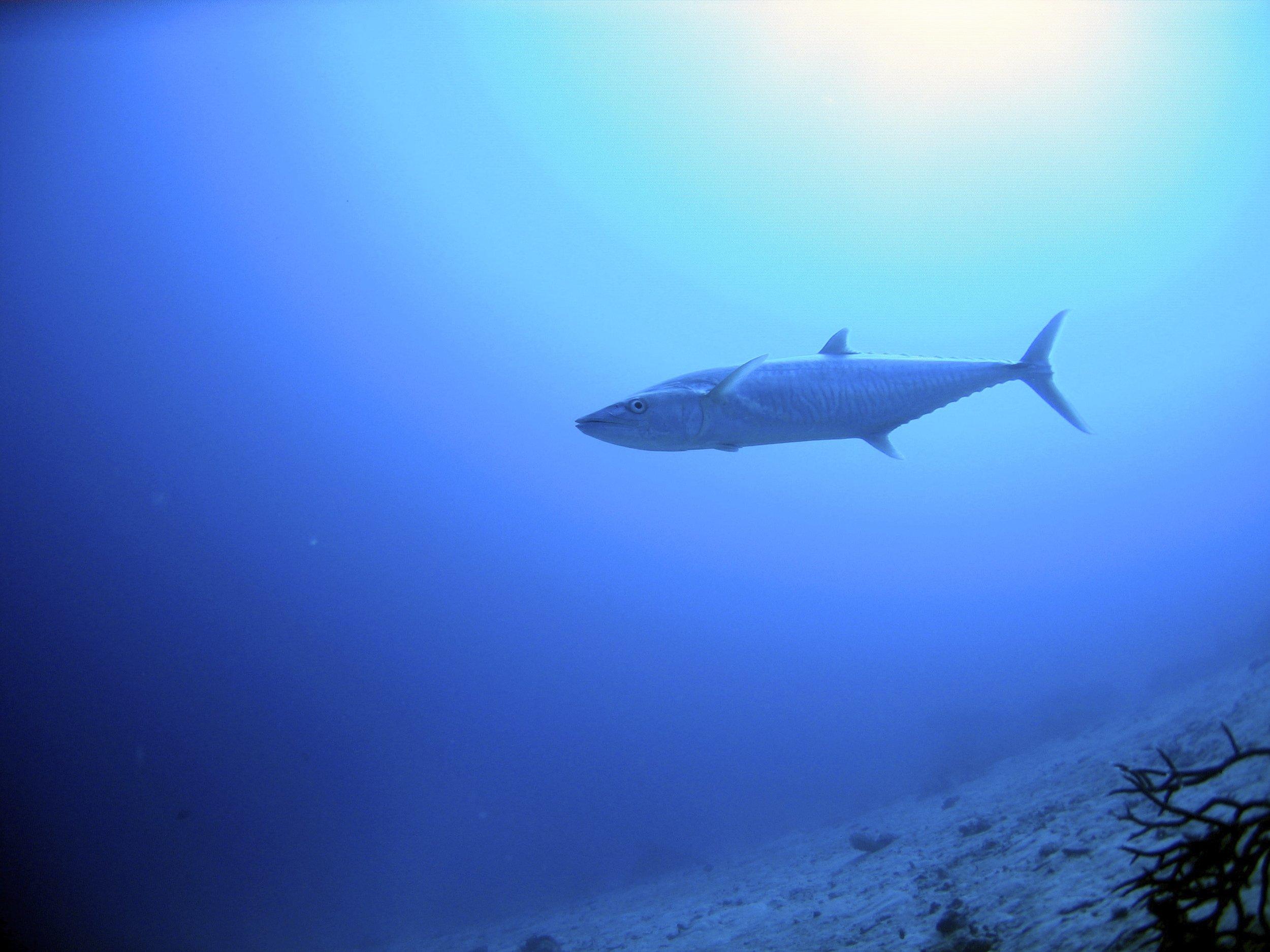 Mackerel - Lizard Island, GBR 2006