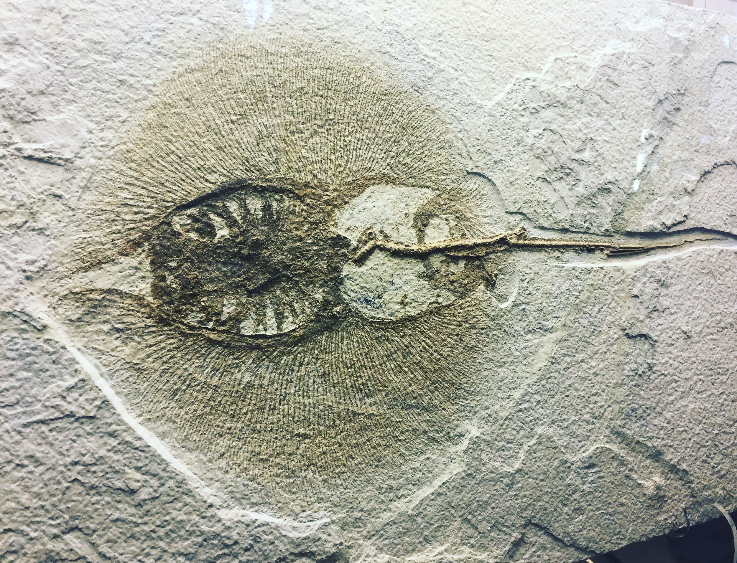 50 Million year old stingray fossil
