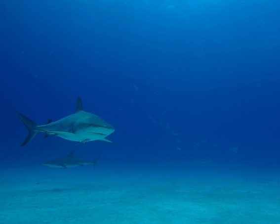 Caribbean Reef Shark - Eleuthera 2018