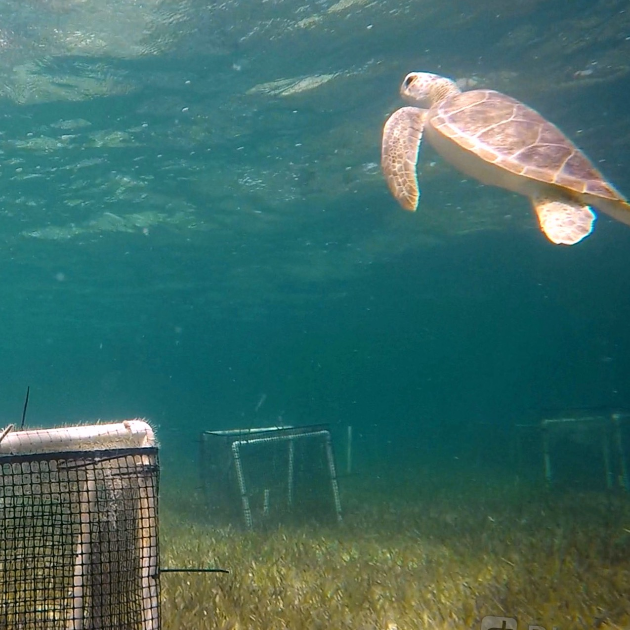 Curious Juvenile Green Turtle - Seagrass Site 2018