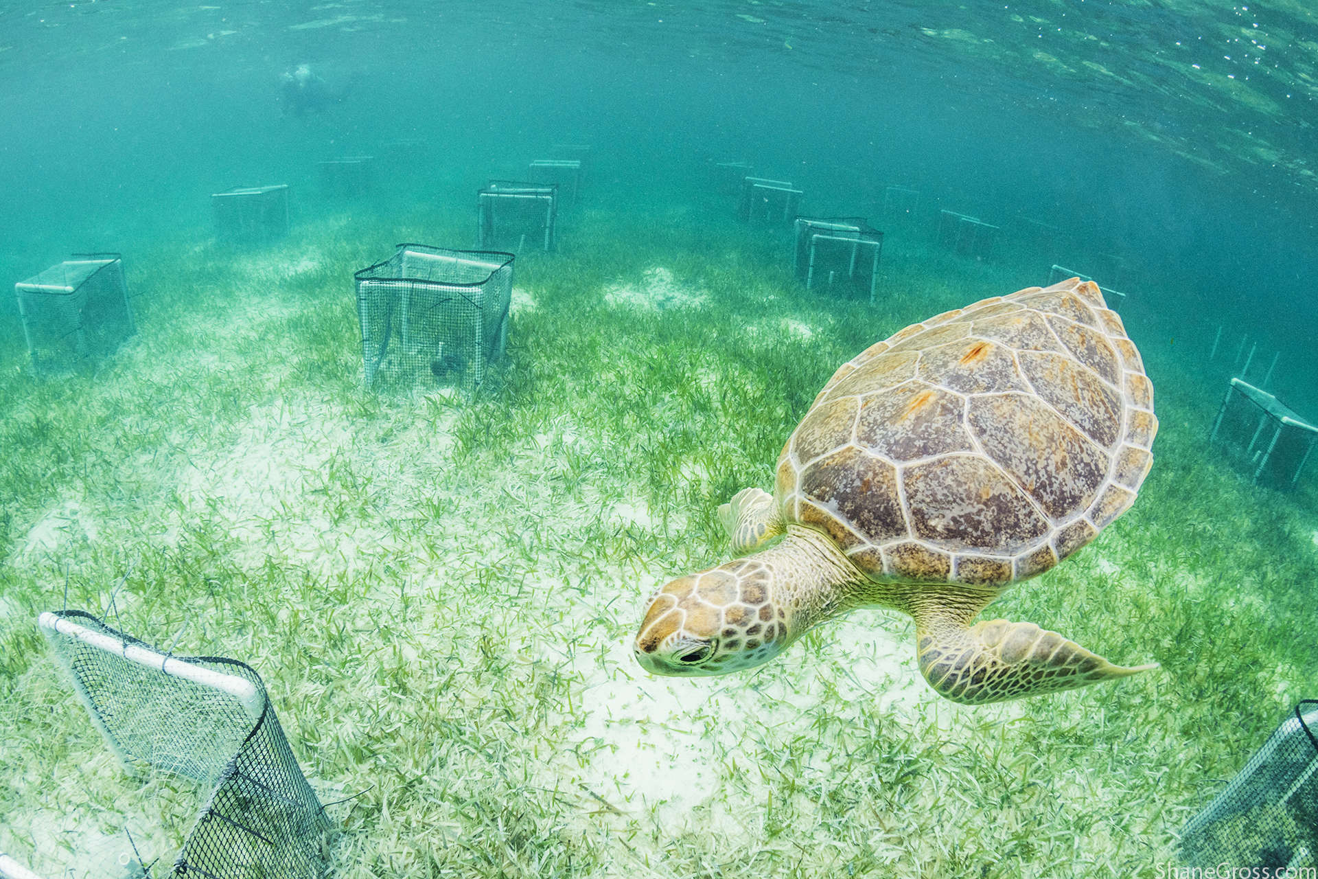 The Smithsonian TEN Network, Eleuthera array with 'Archie' who just loves to rub up against us as we attempt to collect data! Image @shanegrossphoto
