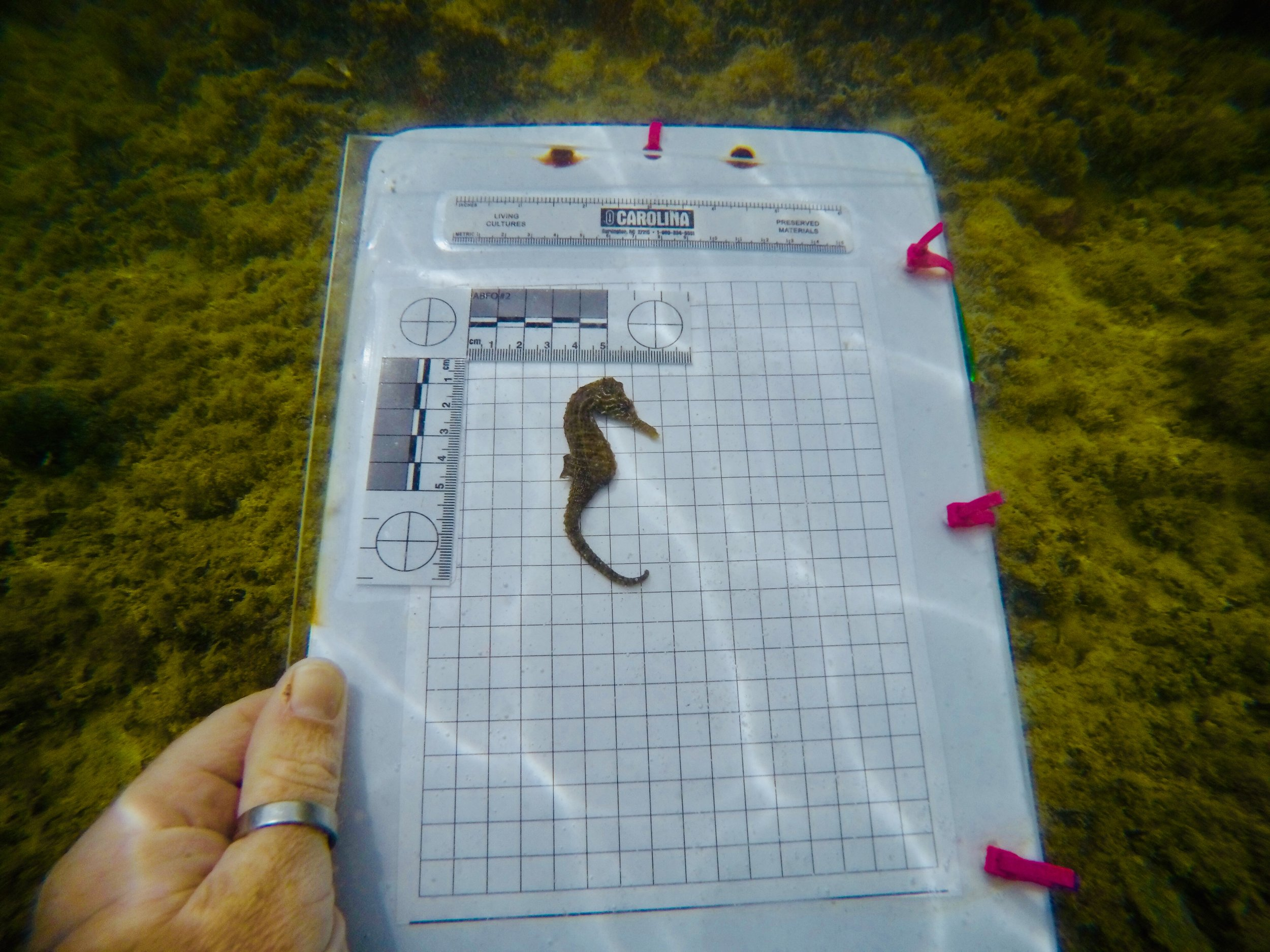 A lined seahorse is measured and photographed as part of a mark-recapture study