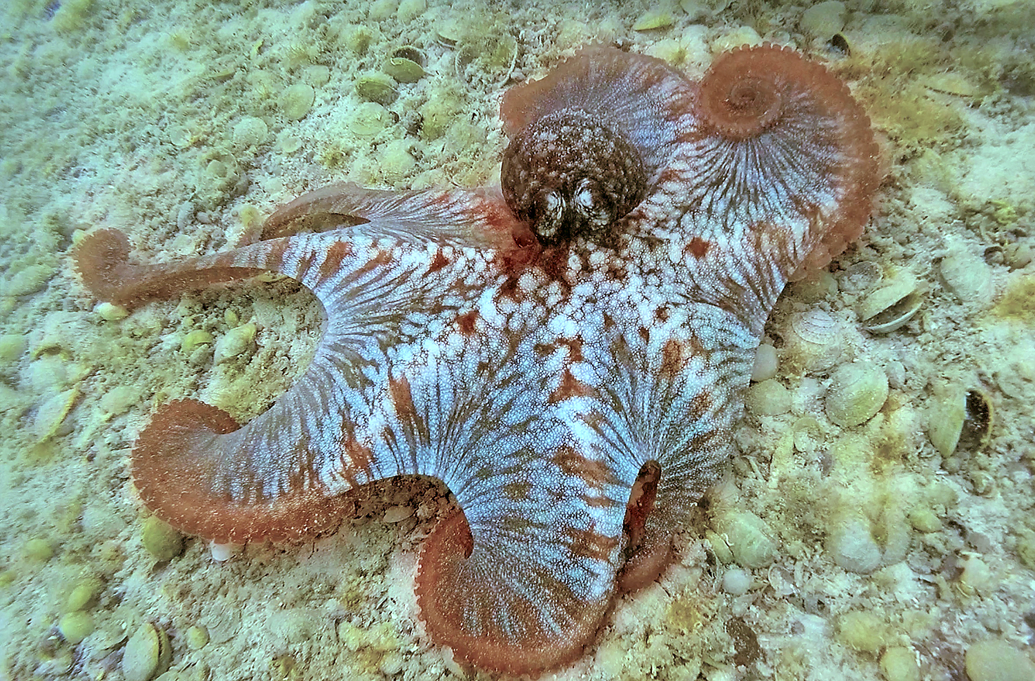 Octopus are very common within the Sweetings Pond ecosystem