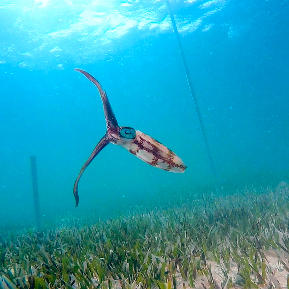 The Tropicalisation Of Western Atlantic Seagrass Beds