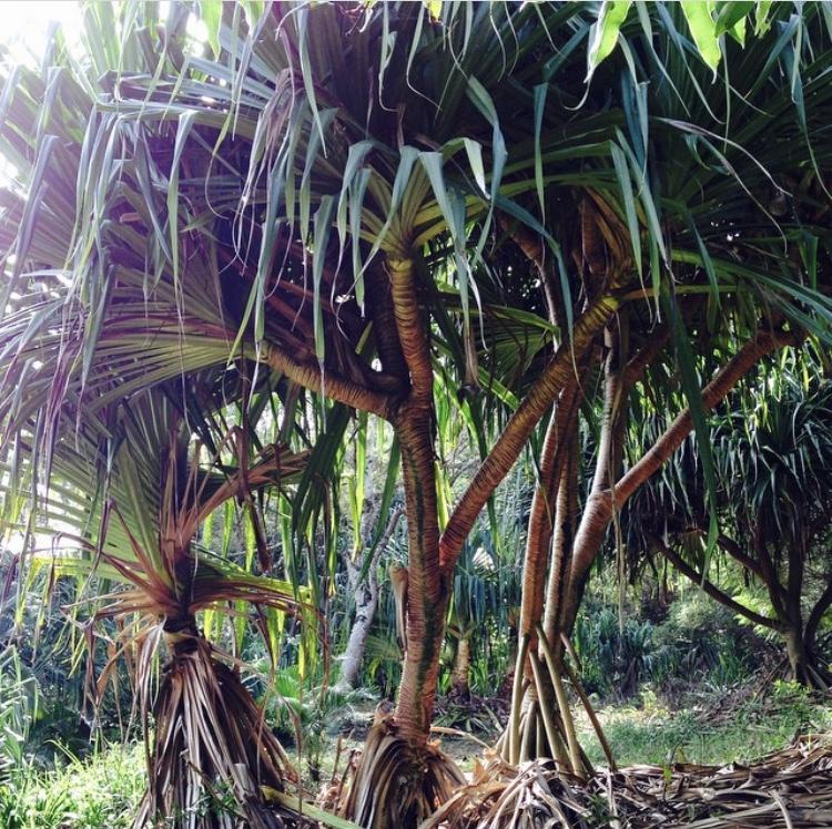 Hala (pandanus) Trees