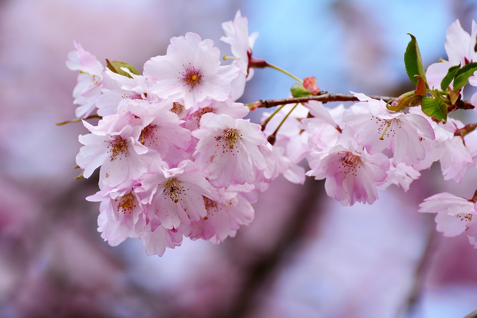 cherry blossoms 2.jpg