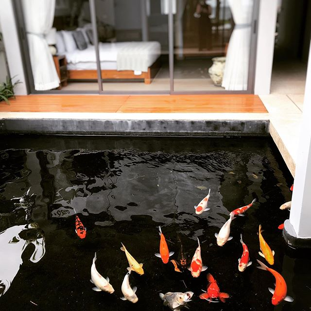 2 Garden rooms not only have a view of the ocean but our beautiful koi fish will keep you company @twin.villas.natai #koi #koifish #twinvillasnatai #twinvillas #luxuryvillaphuket #swing #3nightsforthepriceof2 #luxury #phuketluxury #villa #phuket #natai #nataibeach