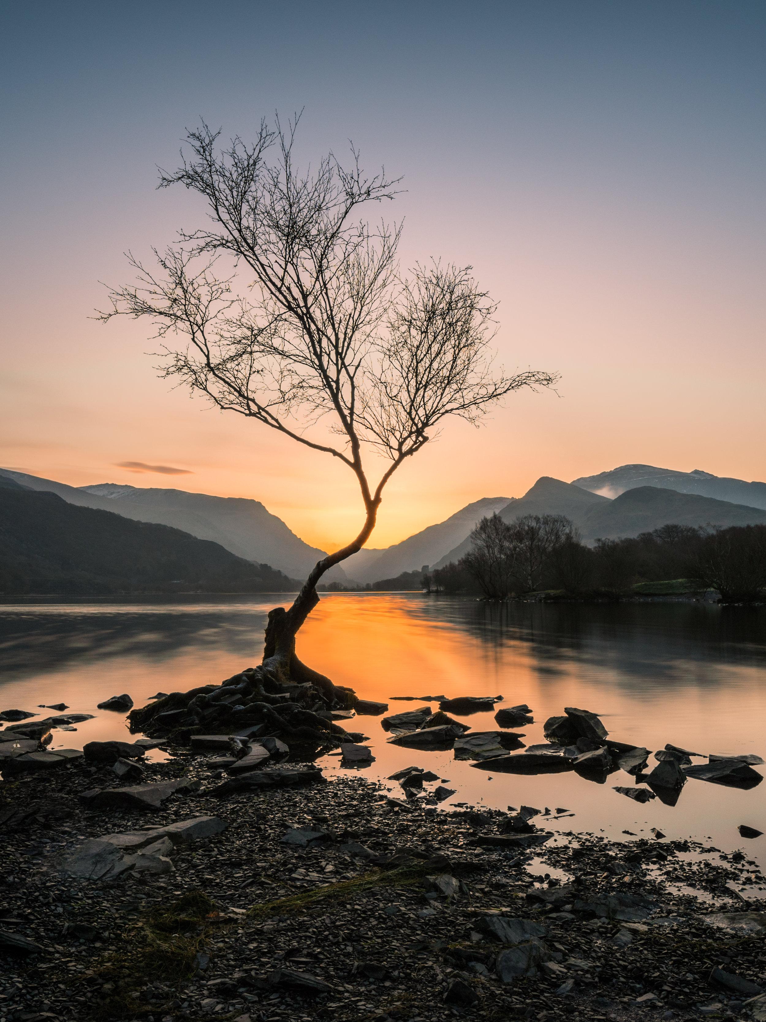 Lone Tree LLyn Padarn