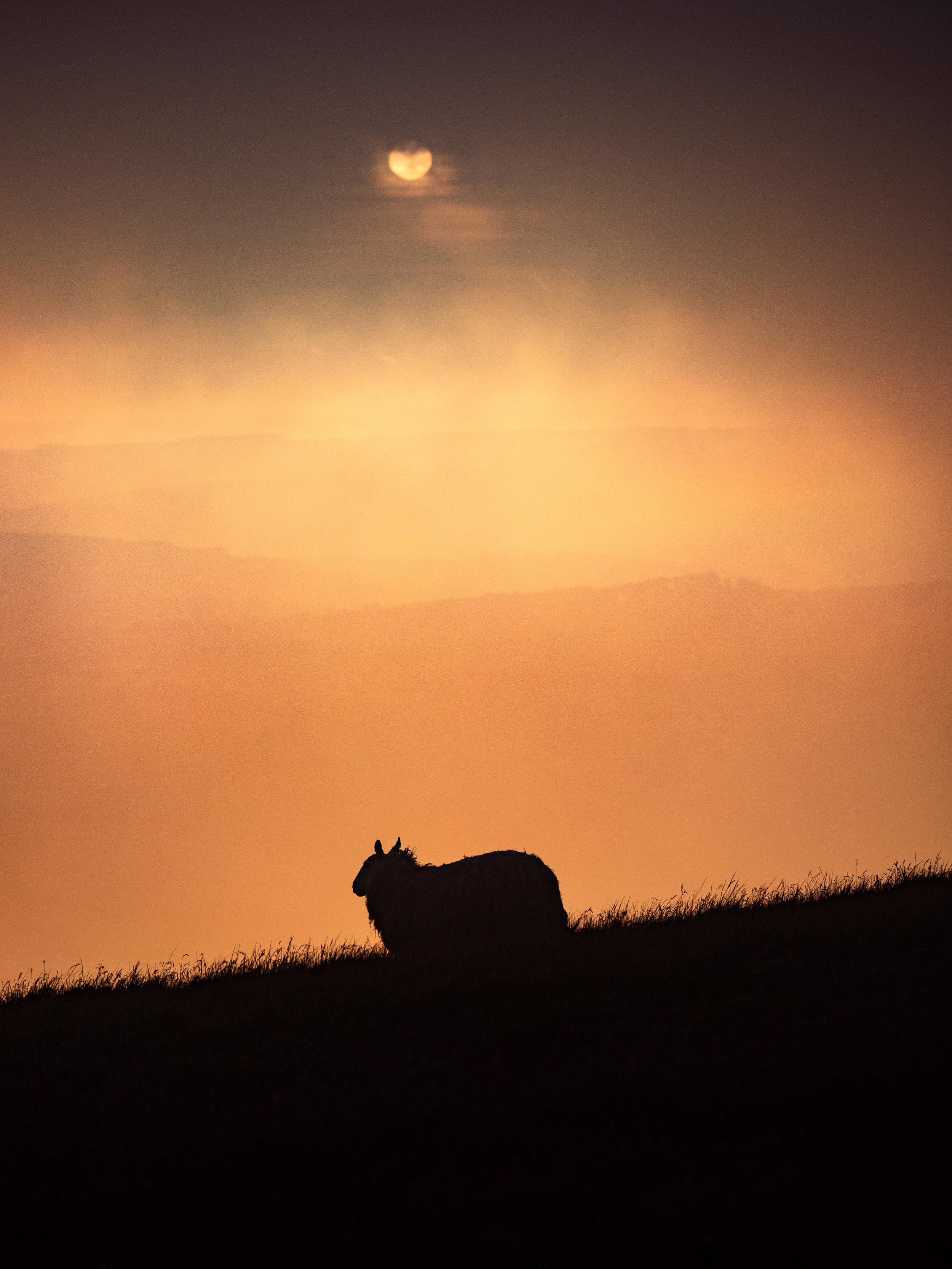 Sheepish Silhouette