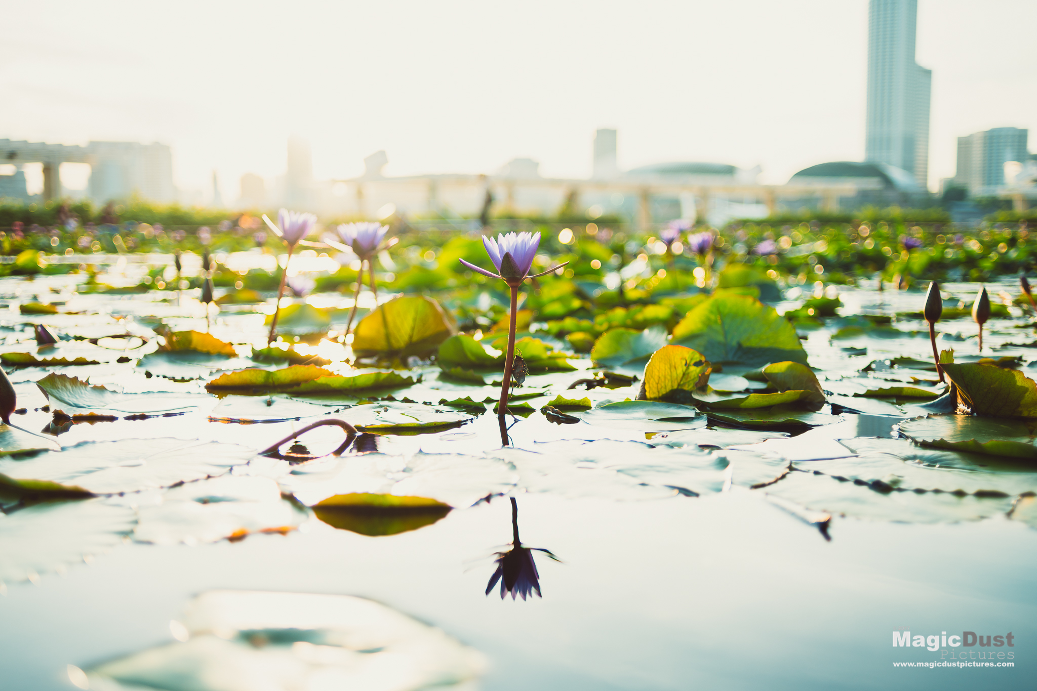 One of my favourite spots for a sunset shoot. The lotus pond at the MBS Art Science Museum.