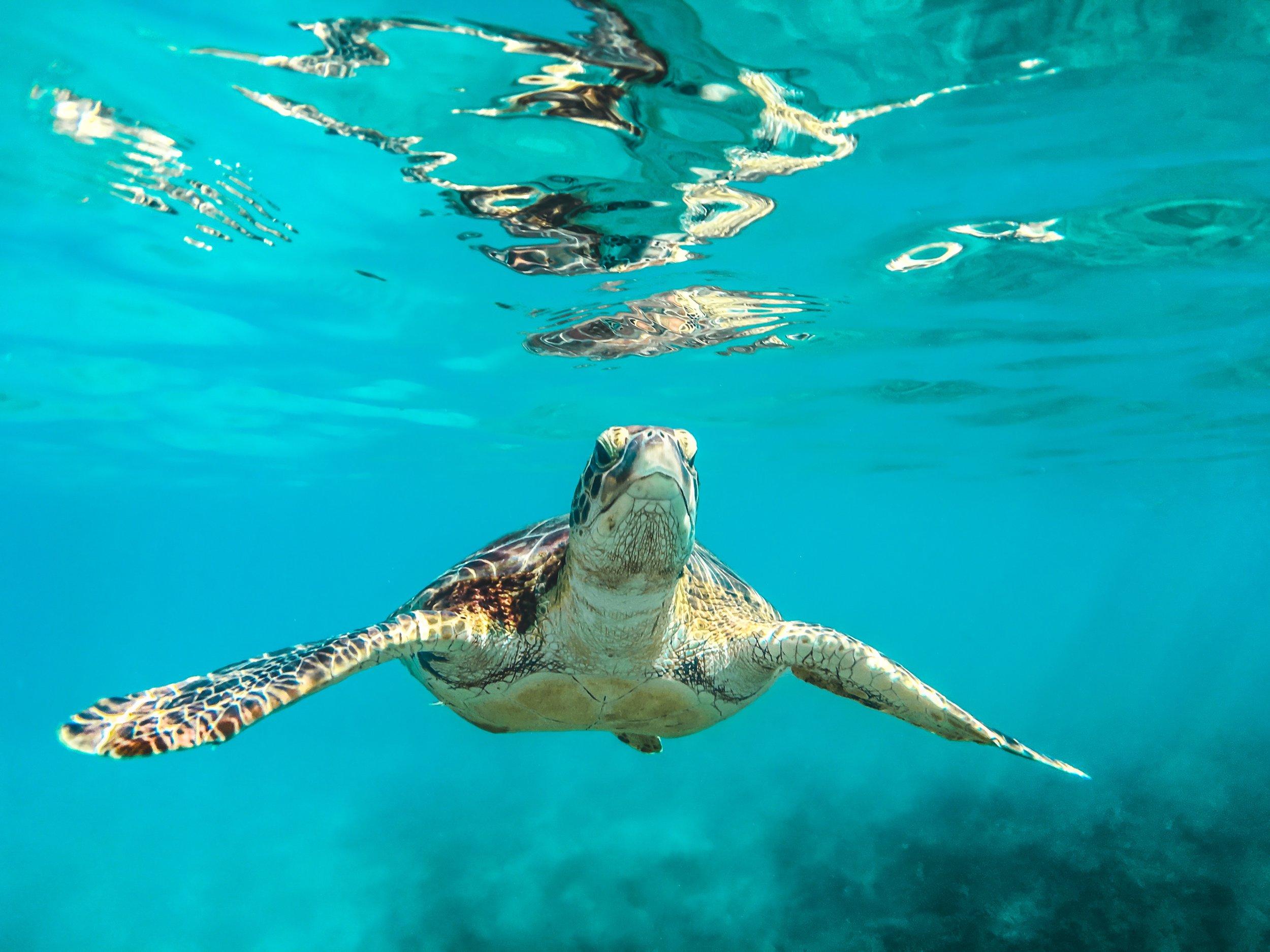 turtles_spotts_beach_cayman.jpg