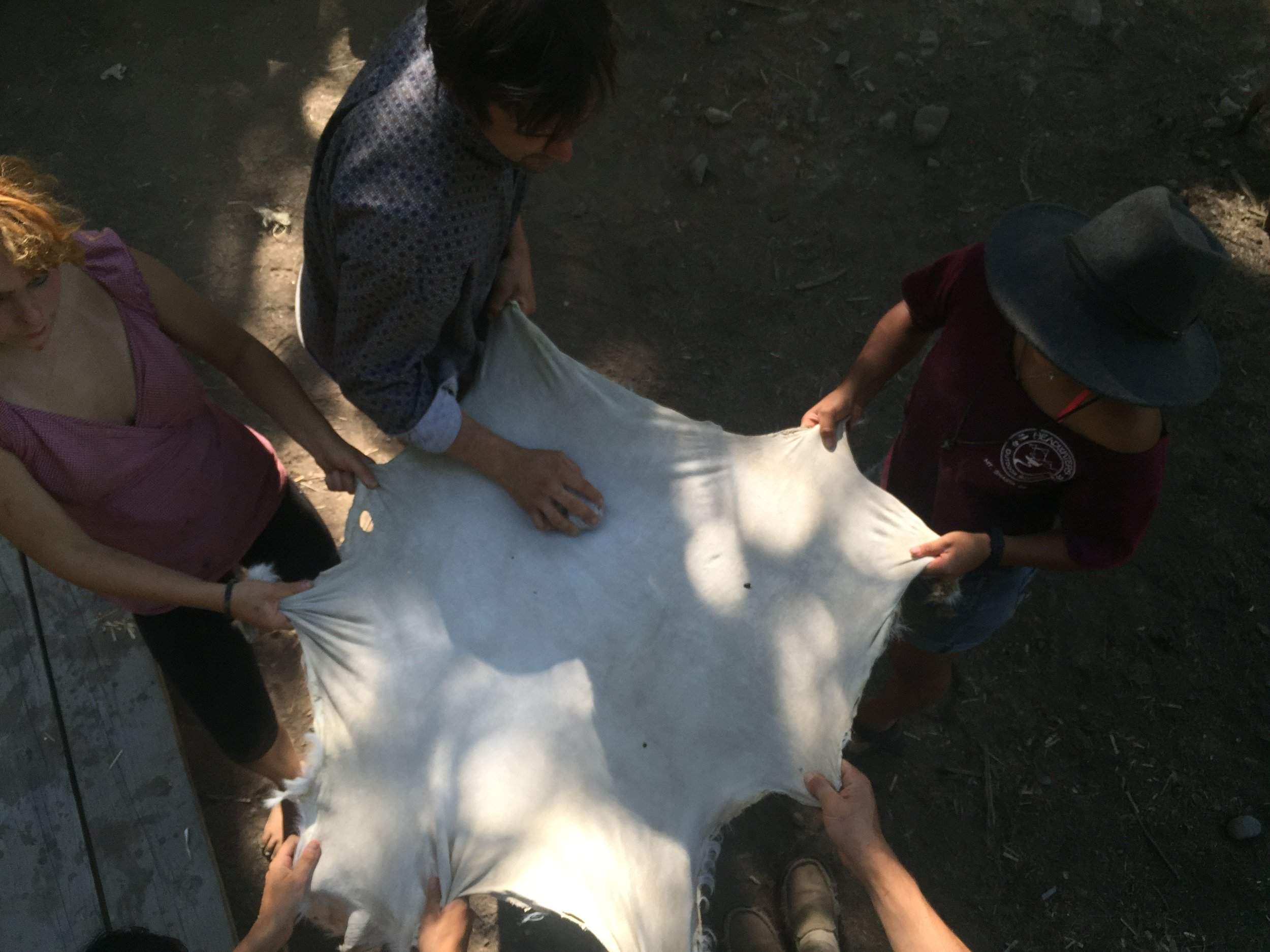 Many Hands Make Light Work- Stretching A Goat Hide For Brain Tan