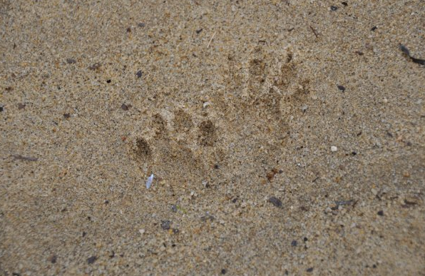 Raccoon tracks in sand