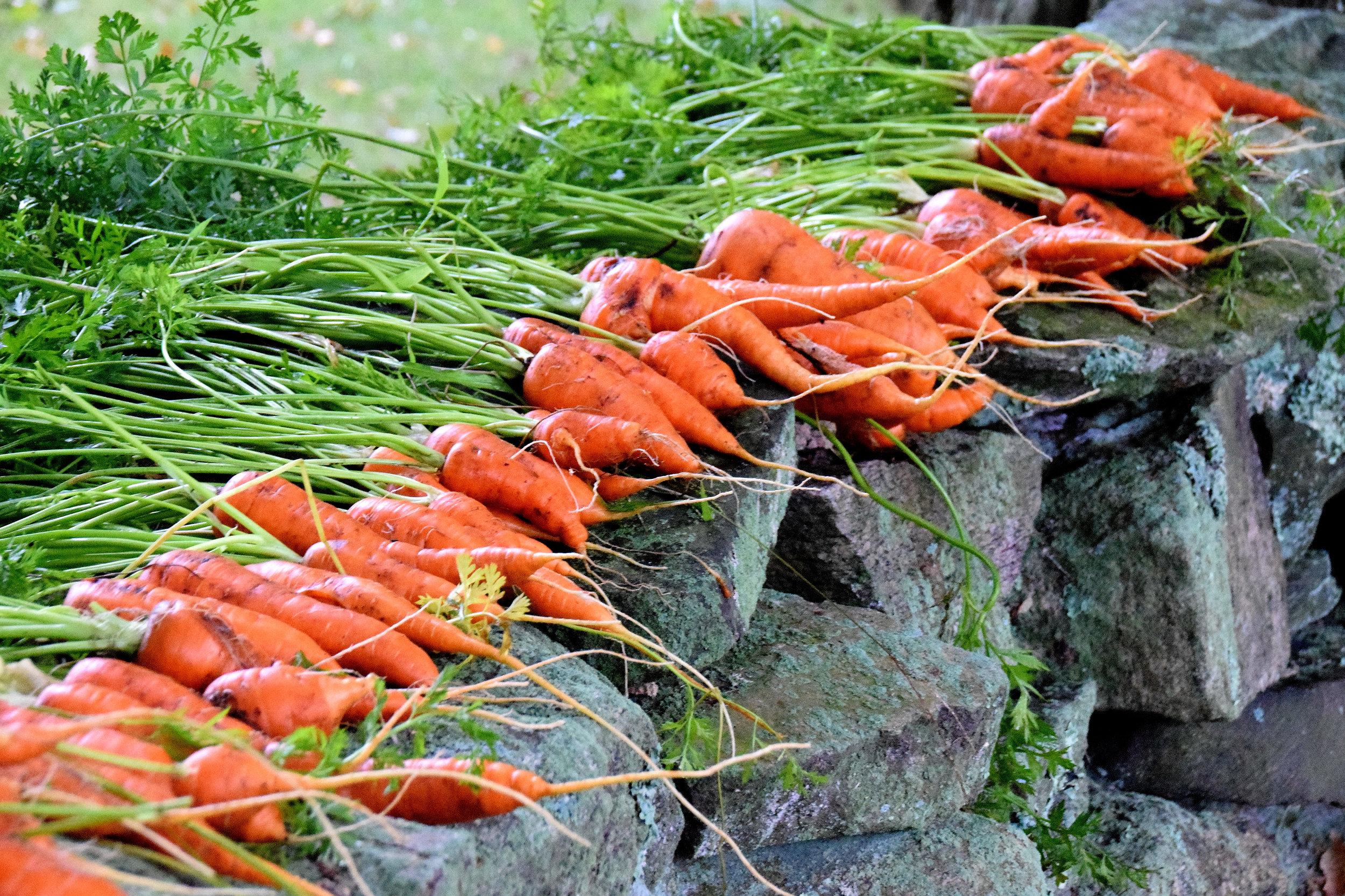 Carrots1 008.JPG