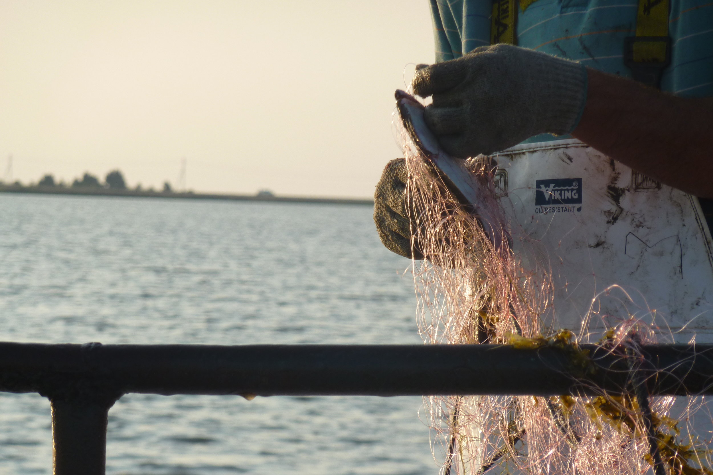 Gill-netting for flounder. Commercial fishing is longstanding part of NC coastal communities and economies; it is also often a small-scale endeavor. Here a commercial fisherman removes a flounder from his gill net. (Photo: L. Fairbanks)