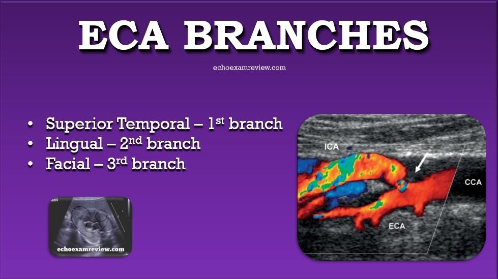 Superior Temporal Artery, Lingual Artery, Facial Artery Branches