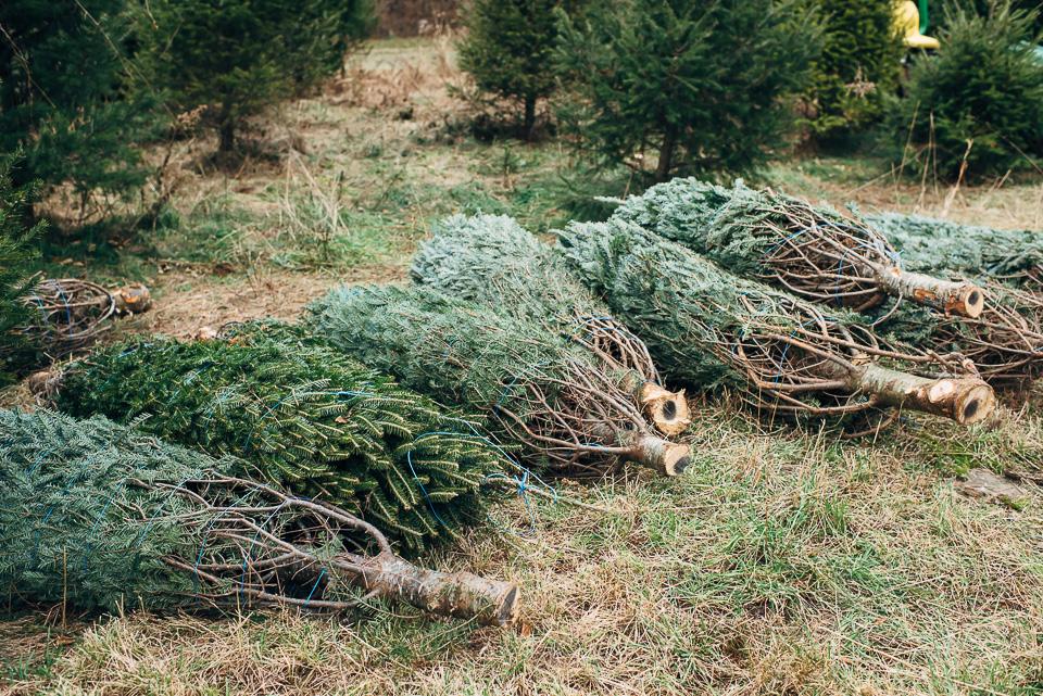 Christmas Tree Farm Westport Connecticut Family-4.jpg