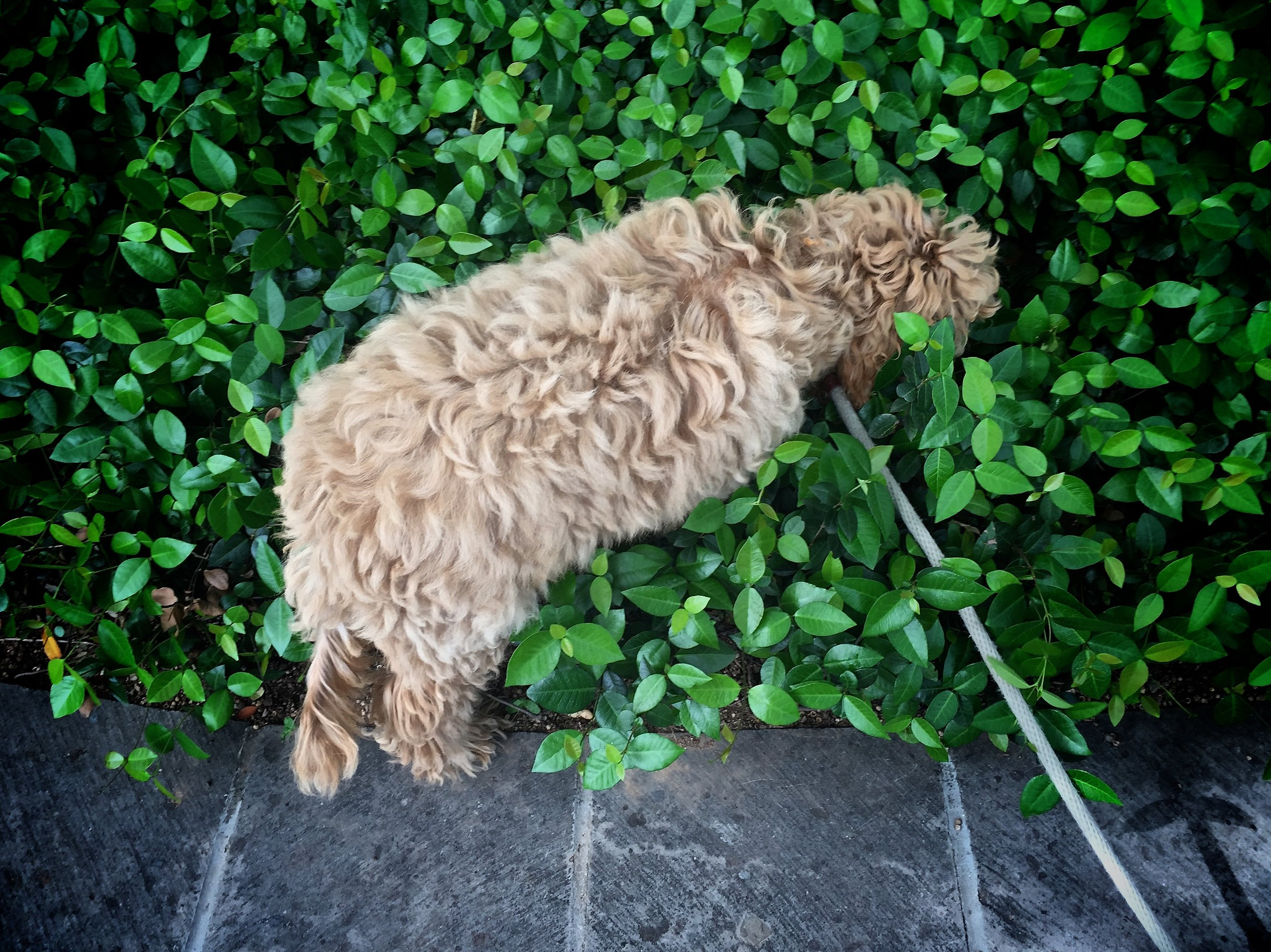 Lizzie! You need to stay on the pathways. Not charge headfirst into the ground cover. No matter how good the sniffs.