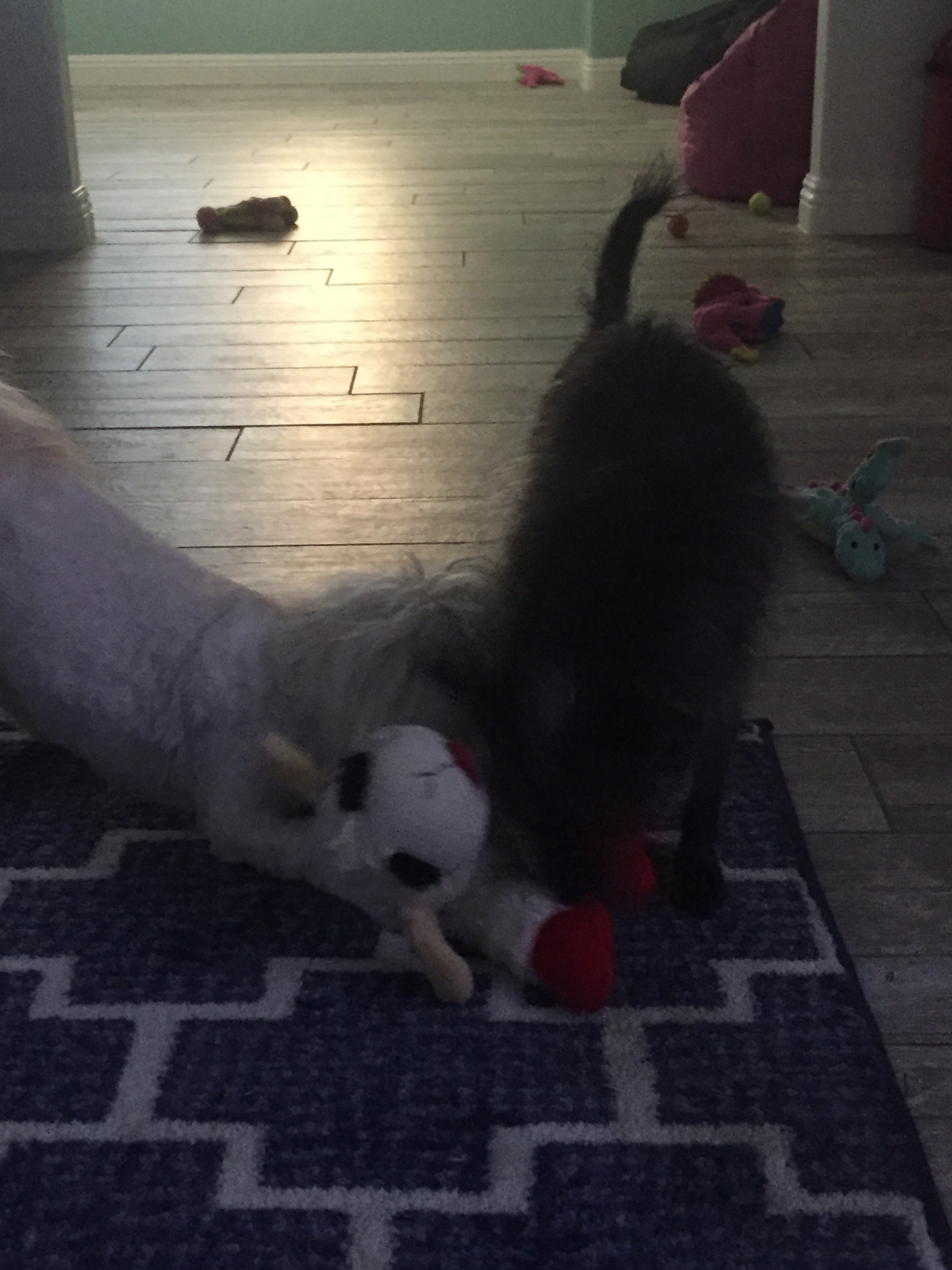 Winnie and Pippa playing with Lamby together. With squeakers in her paws and belly, Lamby provides squeaks for everyone!