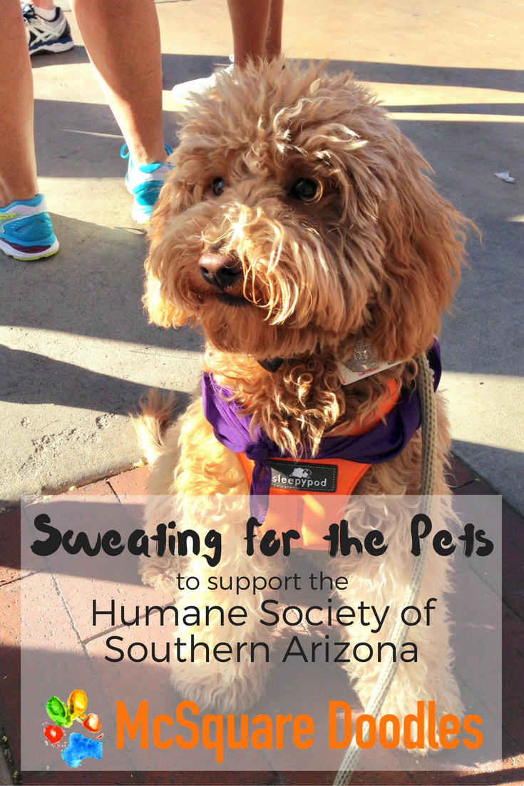 Bernie and Lizzie McSquare walked the UA Mall to support the Humane Society of Southern Arizona's Sweat Pets 3K Walk.
