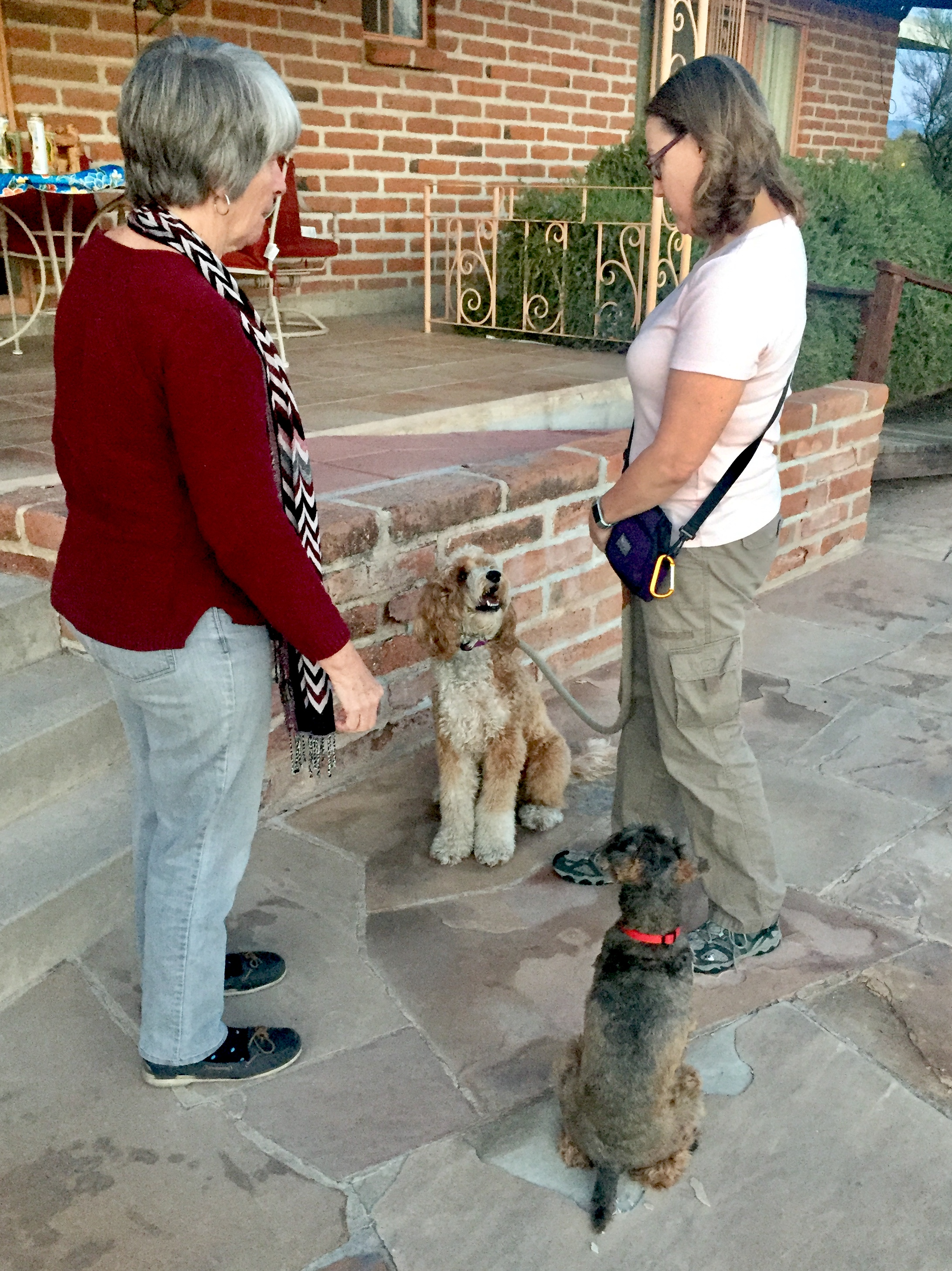 With a little effort, I re-engage Bernie McSquare who is laser-focused on me while the other dogs relaxes into a sit and my friend is ready for our meeting so we can continue to practice for the Canine Good Citizen test.