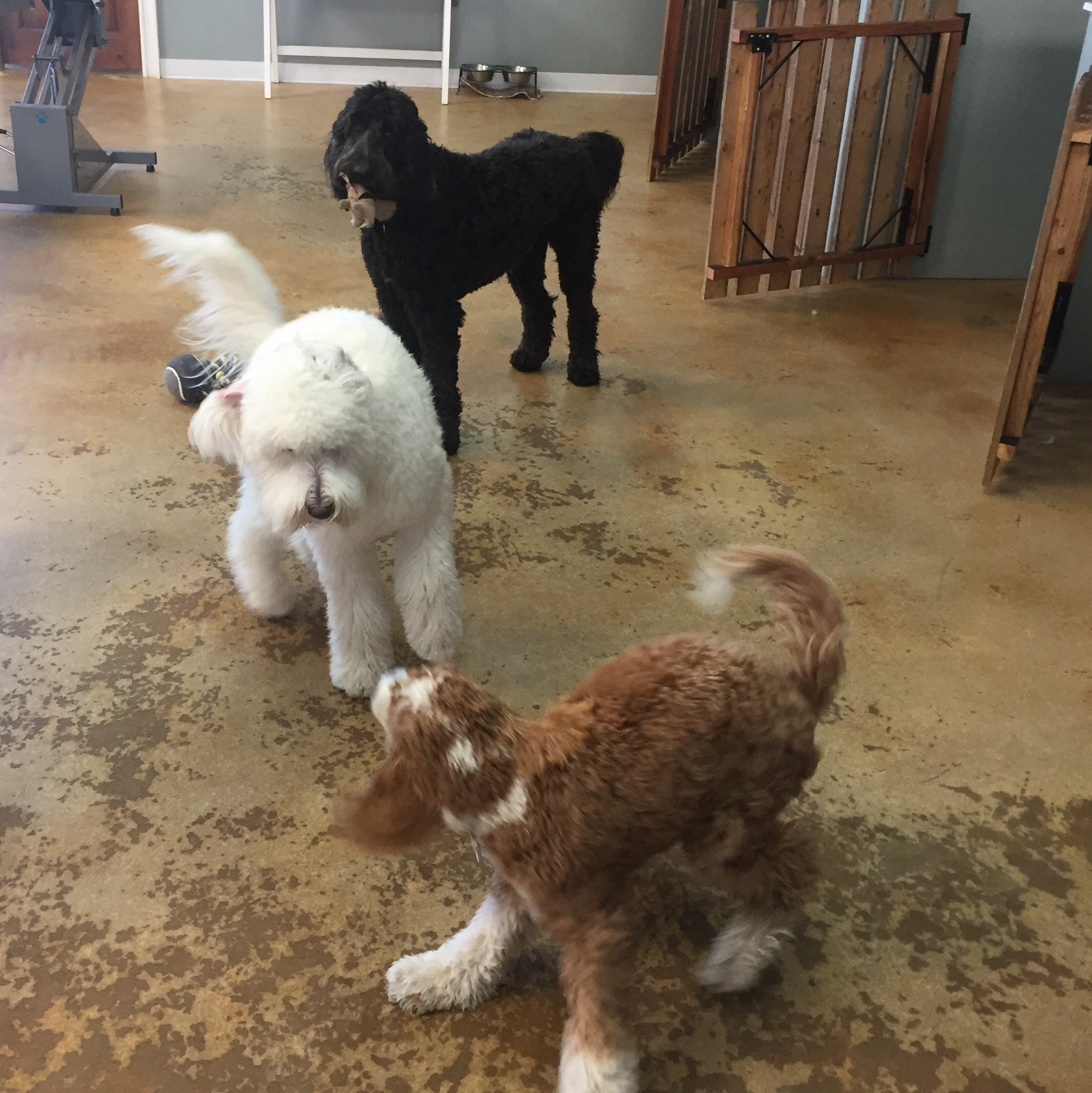 Bernie circles around another Doodle gearing up to play at doggie daycare at Poodles and Pals in Tucson, Arizona.