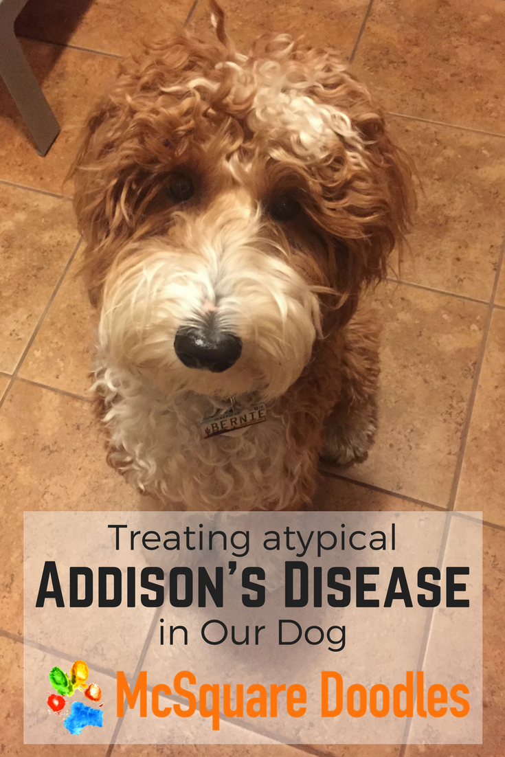 Bernie looking a little stressed - Treating atypical Addison's Disease in our dog.