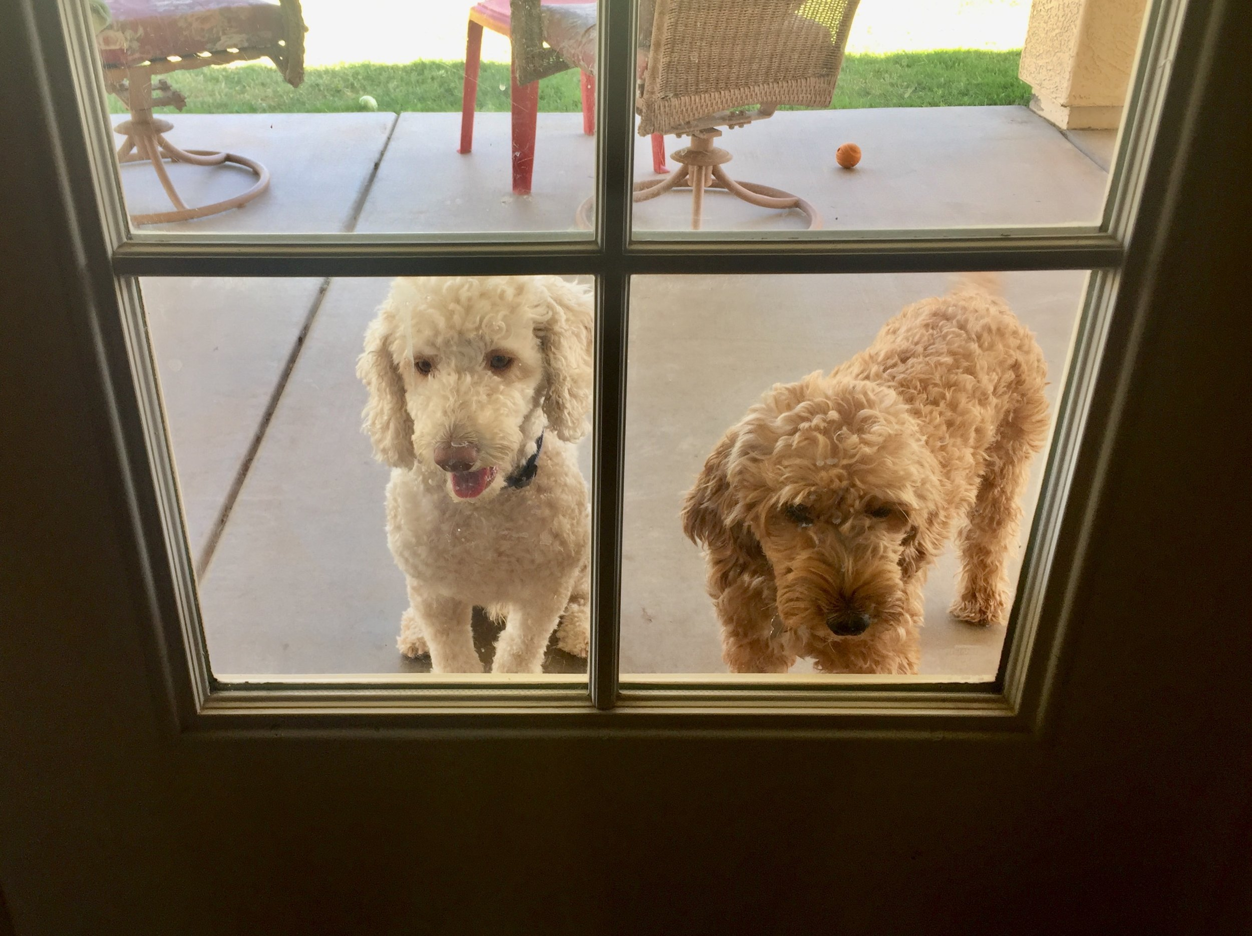 Papa McQueen on the left and Mama Lucy on the right watch through the back door window as Matthew and I pick up Lizzie at 8 weeks of age from Crawford Doodles.