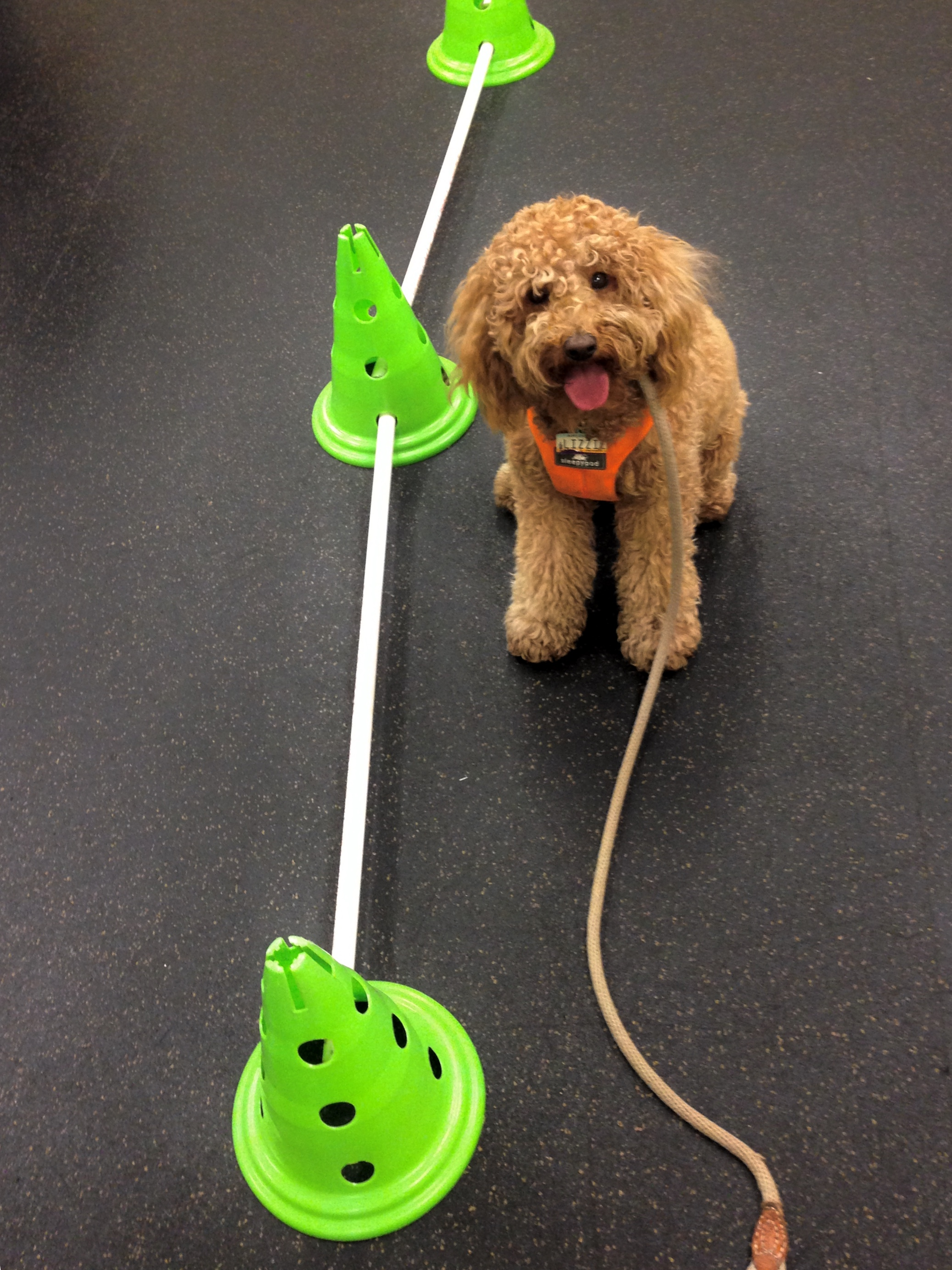 During the last Super Puppy Class, the obstacle course of fitness stations moved all around the building. Lizzie  liked hopping over these rungs in the hallway.