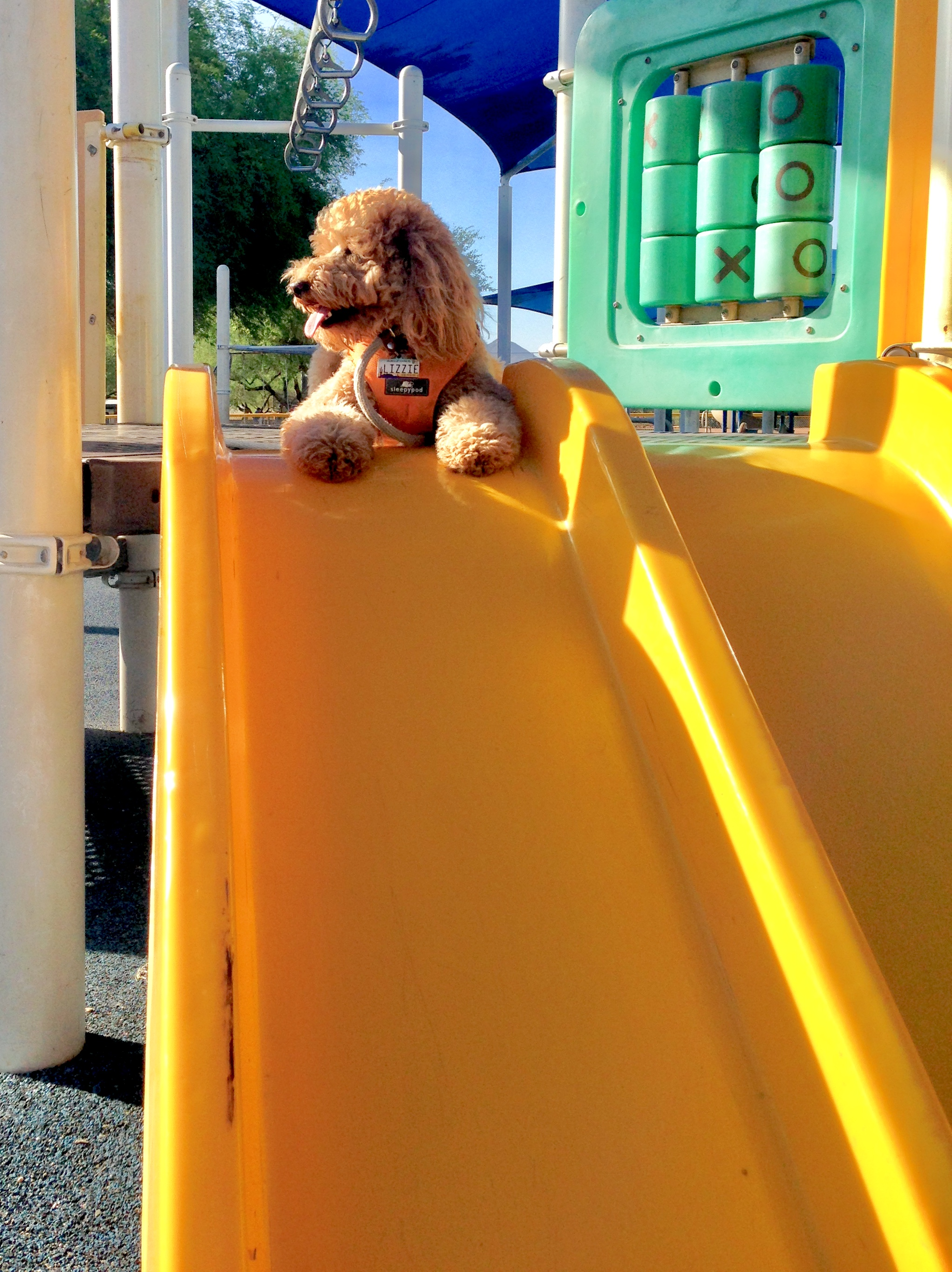 Lizzie McSquare holds a down-stay on the playground's yellow slide after Dog Obedience Park Class.