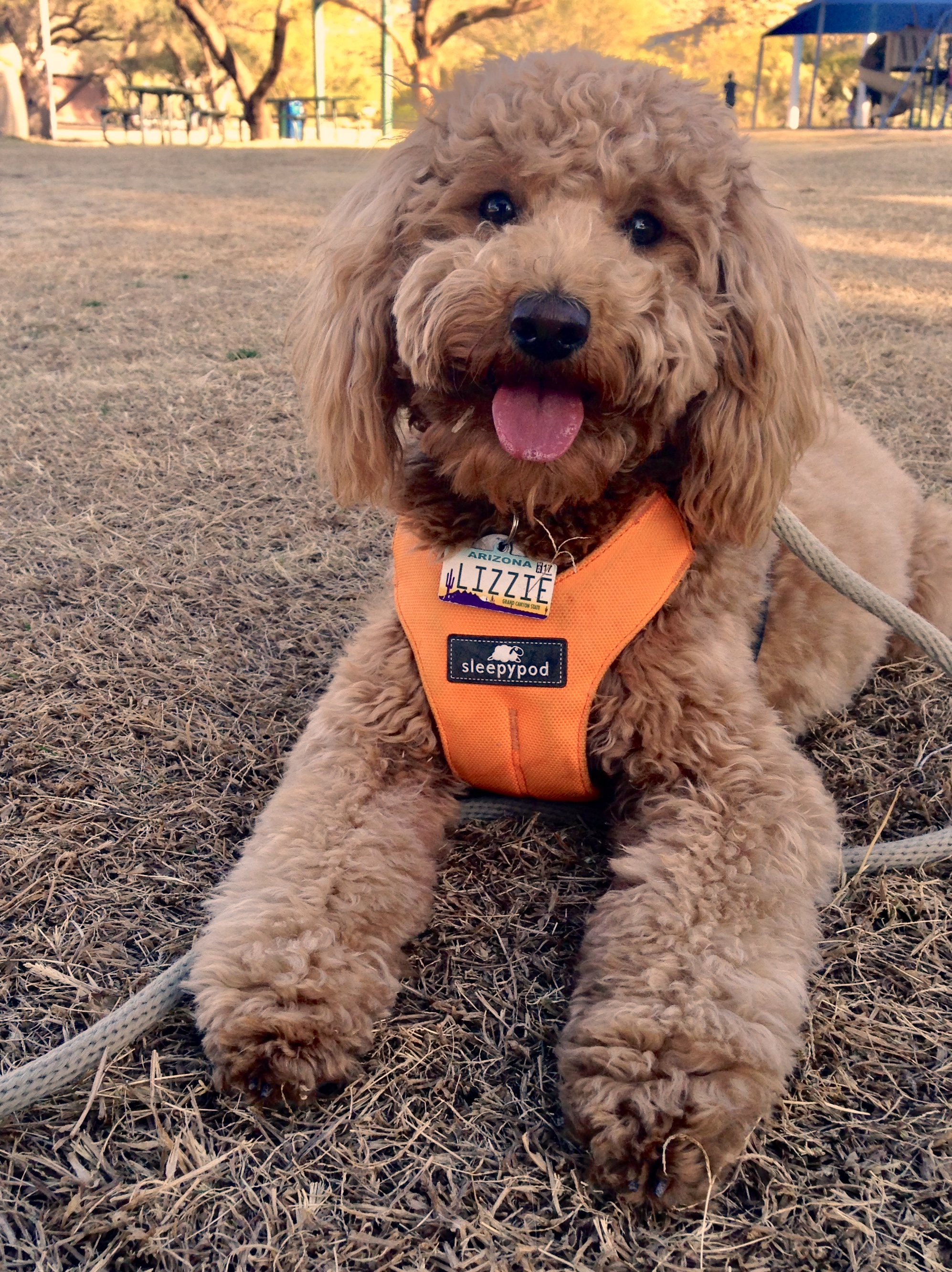 Lizzie McSquare holds a down-stay during one of the fall Dog Obedience Park Classes in Tucson, Arizona.