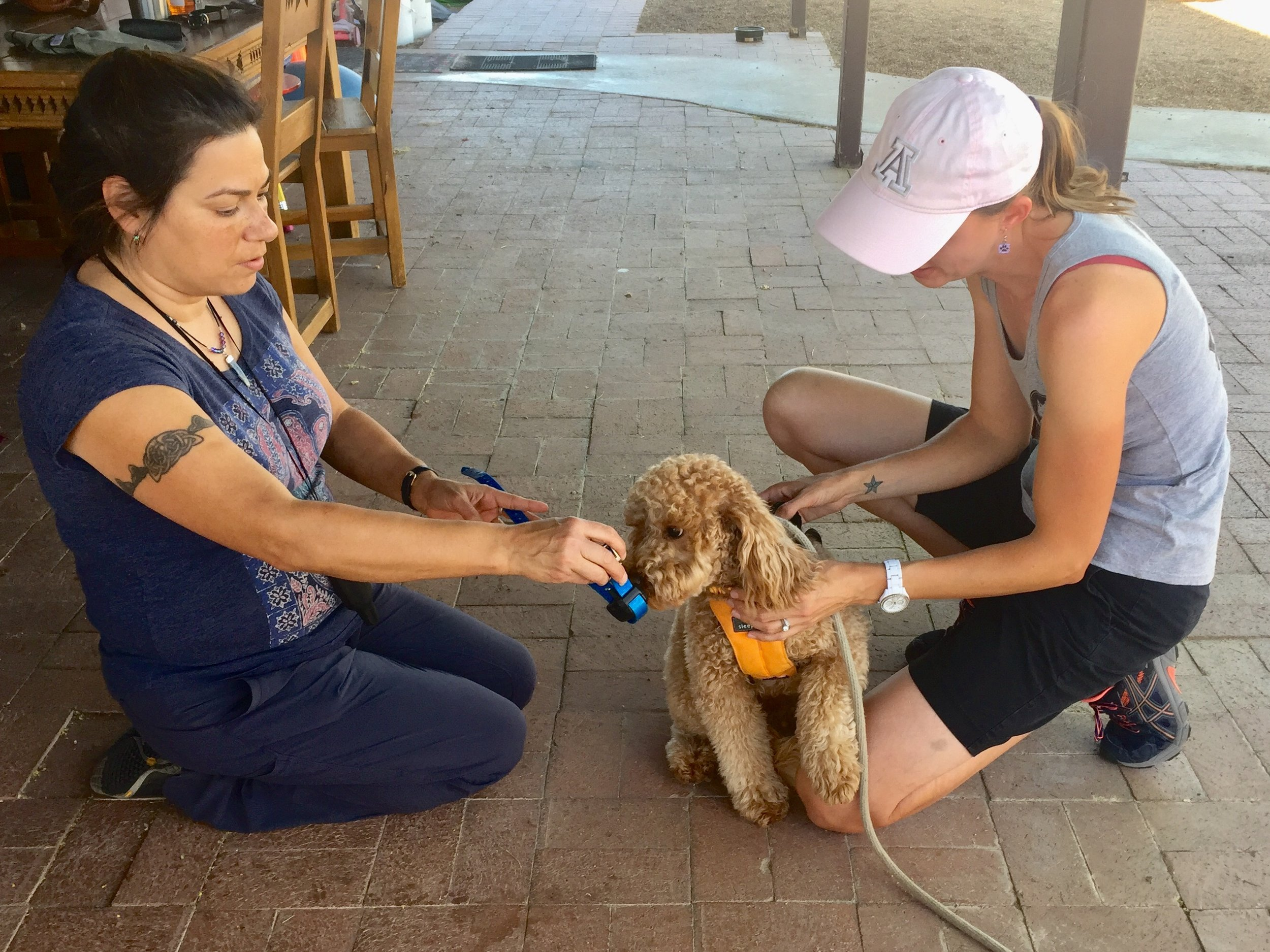 Getting ready to begin Rattlesnake Avoidance Training. Lizzie sniffs at the electronic collar that Dr. Vanya Moreno of Animal Magnetism holds out to her while Crystal Blaker of Ruff House Dog Training & Modification removes her regular collar.