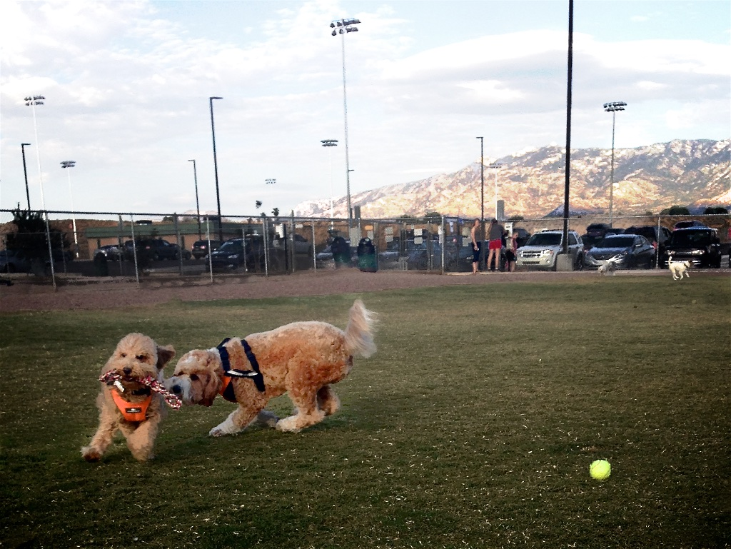 Labradoodle Bernie McSquare chases his little sister Lizzie around the dog park in Tucson, Arizona.