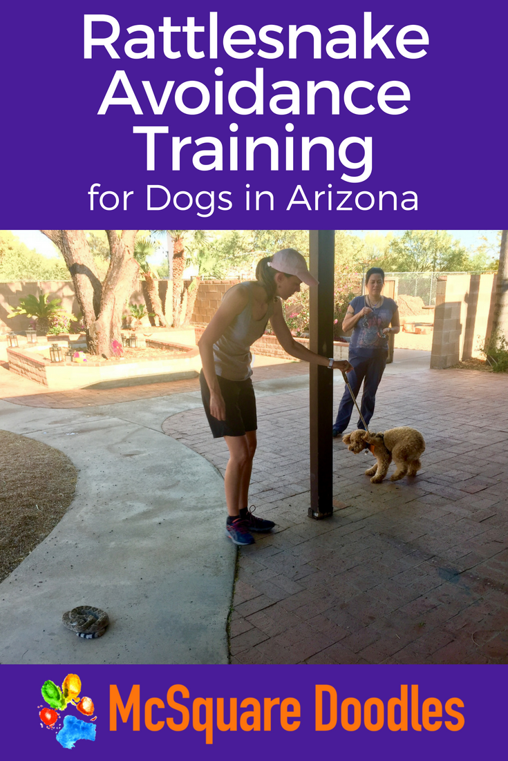 Living in Arizona with dogs means learning more about rattlesnake avoidance training. Sharing our desert home with these deadly predators forces us to be prepared. Follow Labradoodle Lizzie as she walks through her ten-minute training and leaves with a new skillset that may save her life and mine someday. #dogtraining #mcsquaredoodles