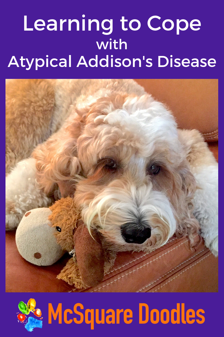 Learning how to manage our anxiety about our Labradoodle's atypical Addison's Disease has been a process. Read more about how we identify stressors for him and avoid transferring our uneasiness to him. #McSquareDoodles #atypicalAddisonsDiesase #AddisonsDiseaseInDogs
