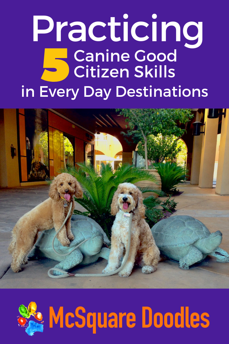 Different destinations hold new distractions. Want to gauge whether your therapy dog in training will respond to cues? Visit a variety of places to up your game & offer opportunities to work on distinct Canine Good Citizen skills. Click to read our 20 ideas for places to socialize and train your dog. #mcsquaredoodles #therapydogs #dogtraining #caninegoodcitizen