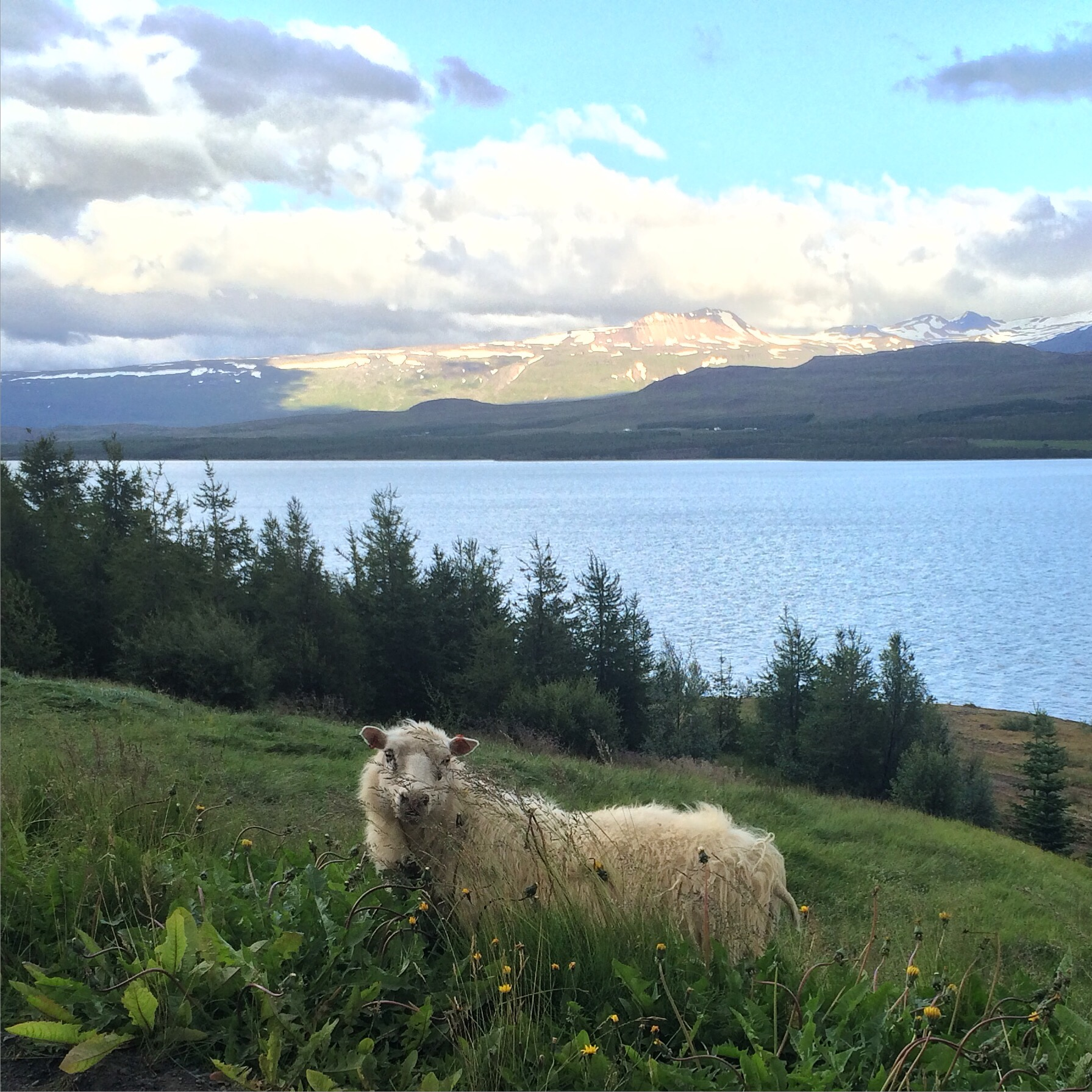 Sheep, somewhere in Iceland