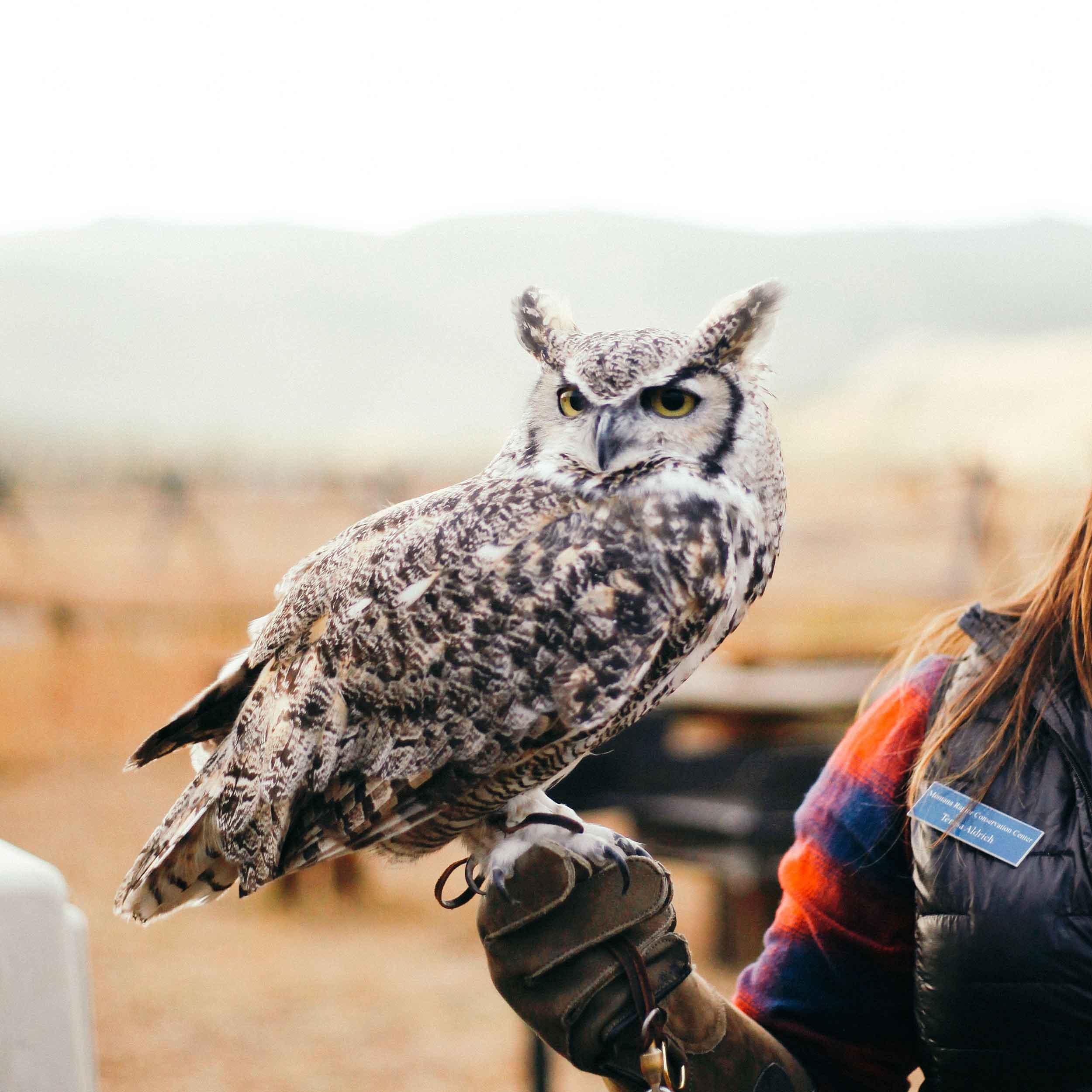 Wild Owl Dare To Detour