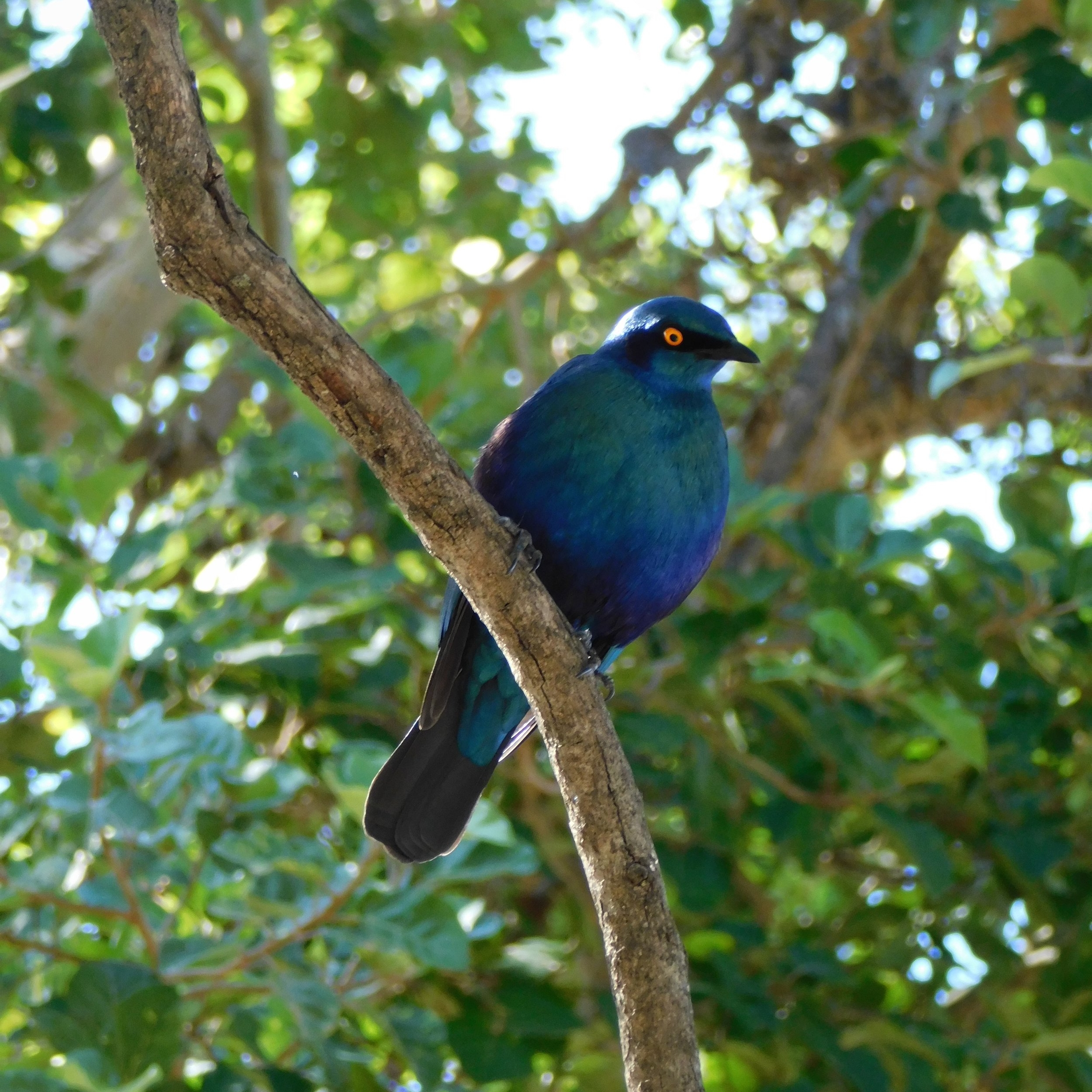 A cape glossy starling in South Africa.