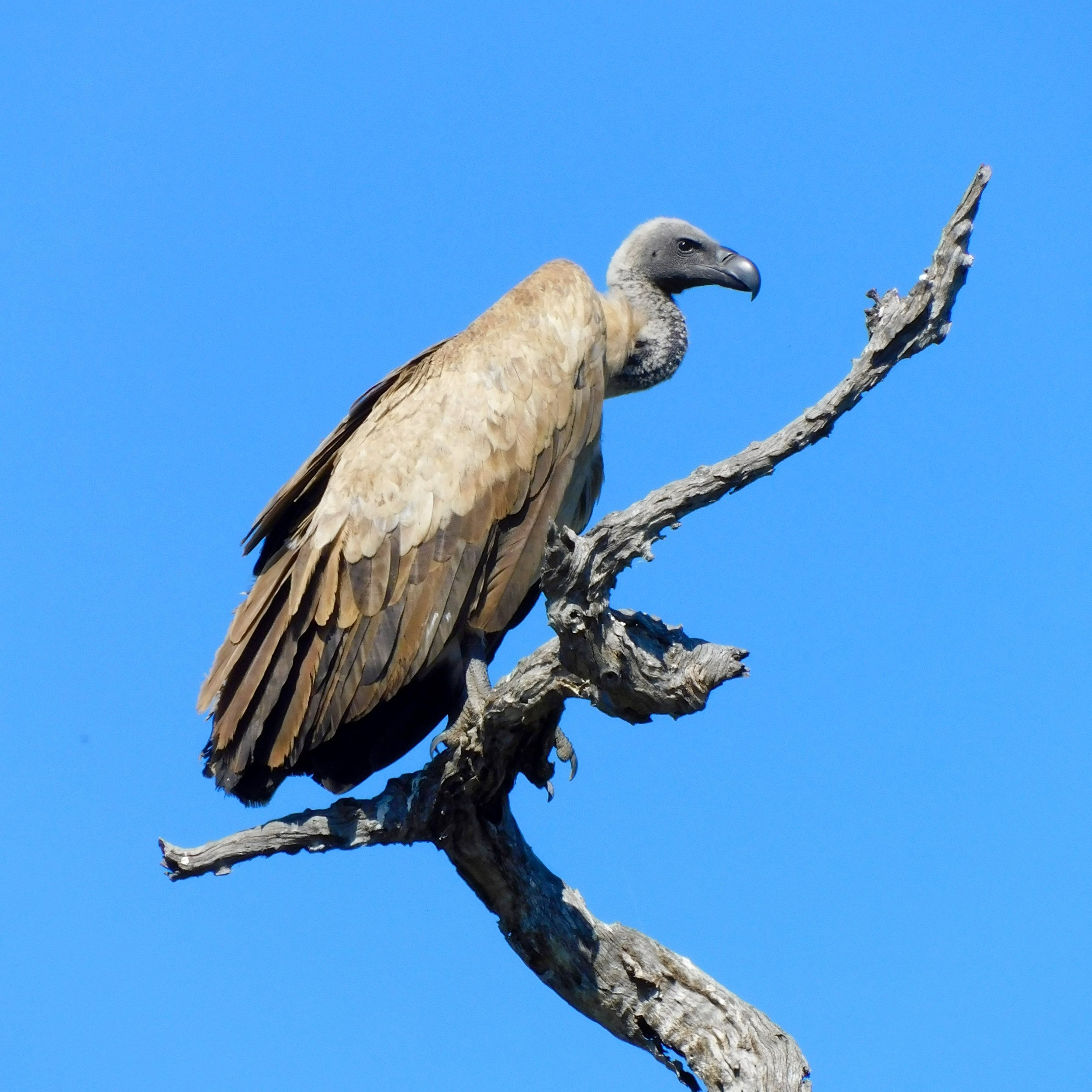 A vulture in South Africa.