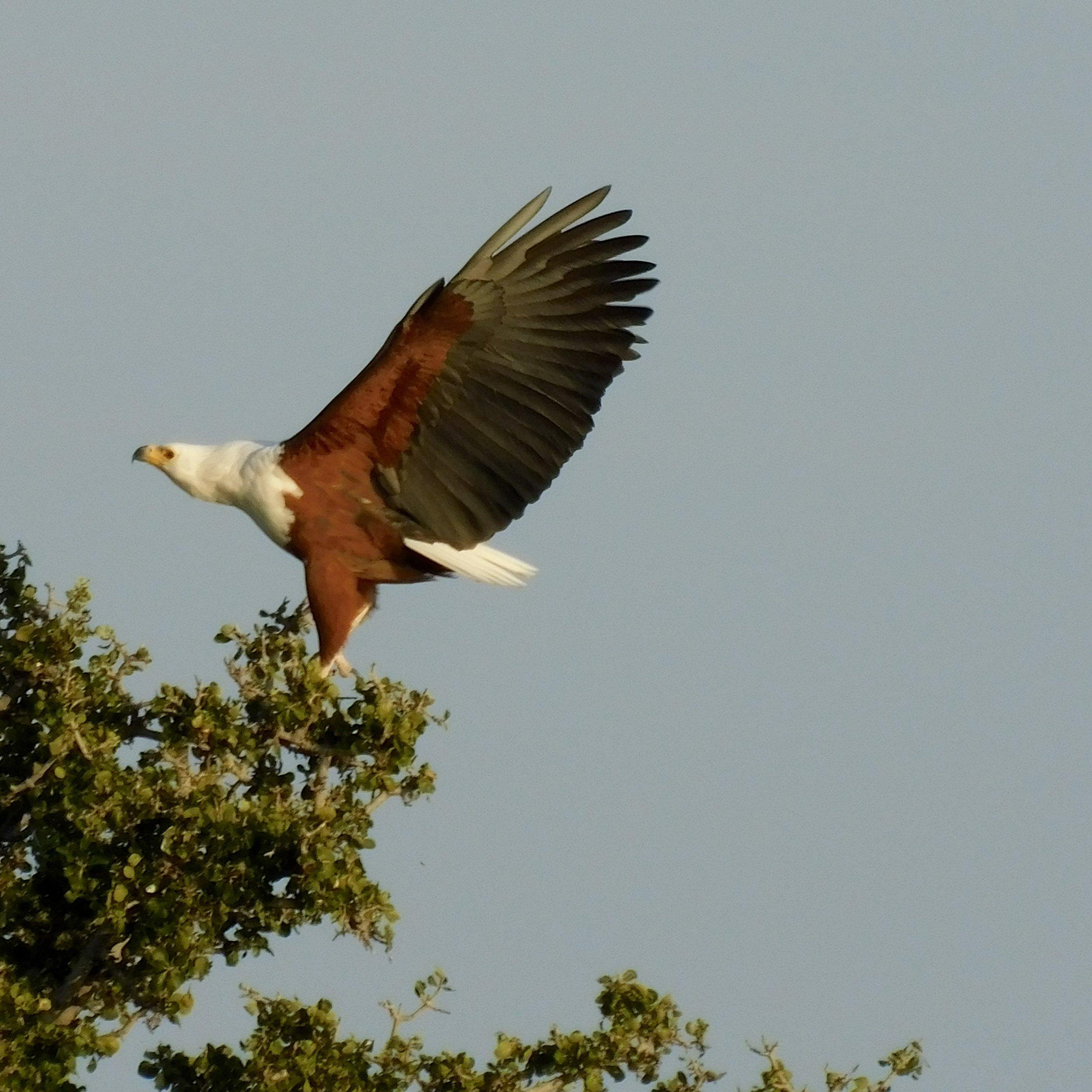 An African fish eagle in Botswana