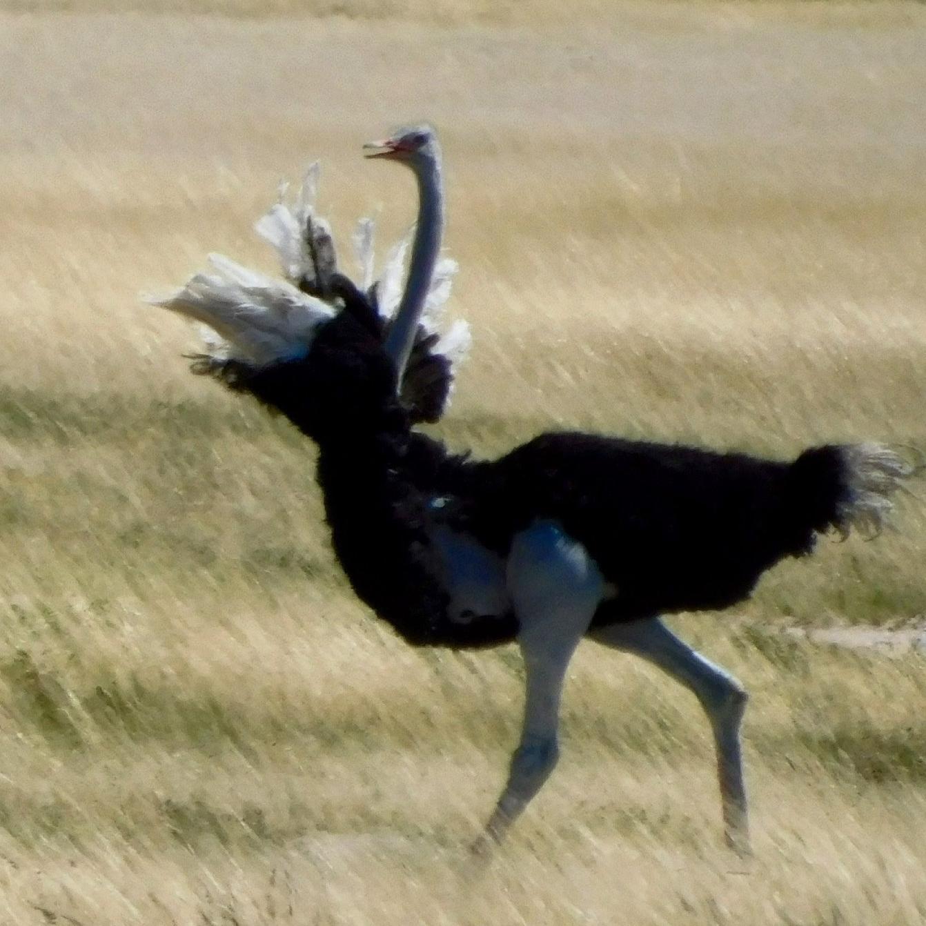 An ostrich running in South Africa