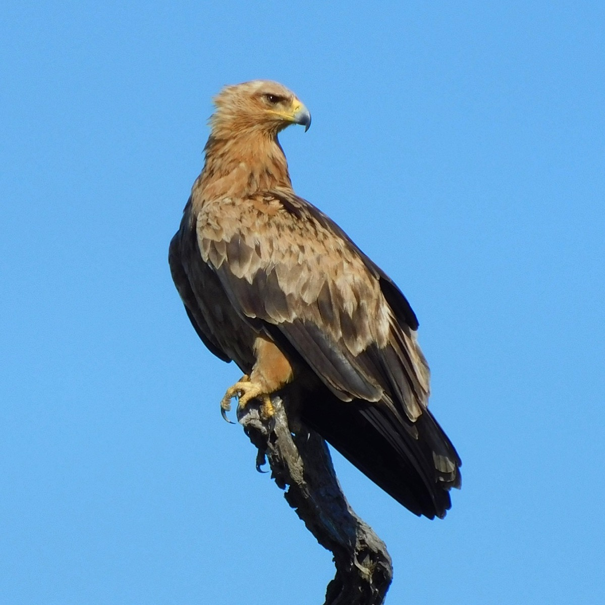 A tawny eagle in South Africa