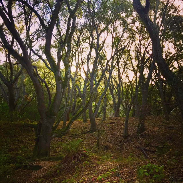 Trees on the Laurel Canyon Trail, Berkeley, CA