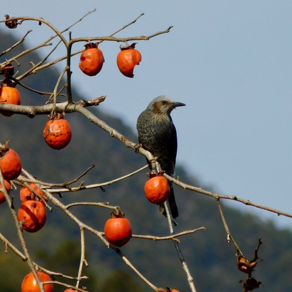 Brown-eared bulbul with persimmons on the Kumano Kodo in Japan.