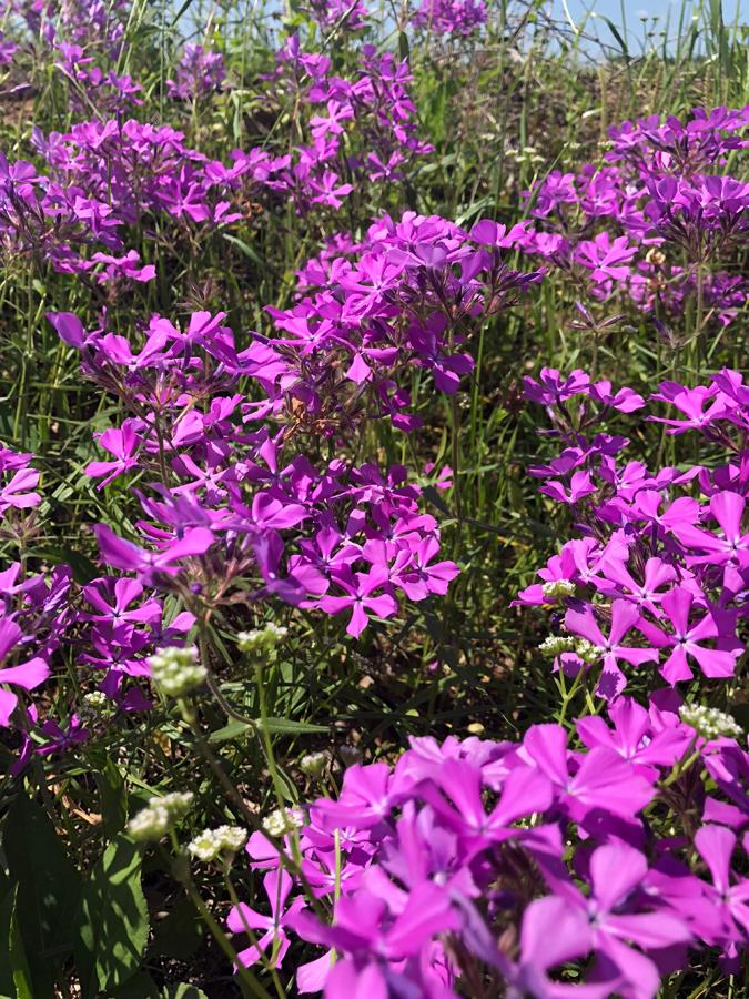 Polemoniaceae_02.jpg