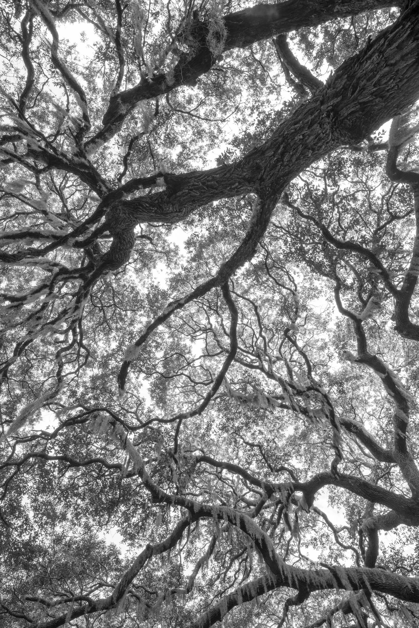 Oak Canopy 211
