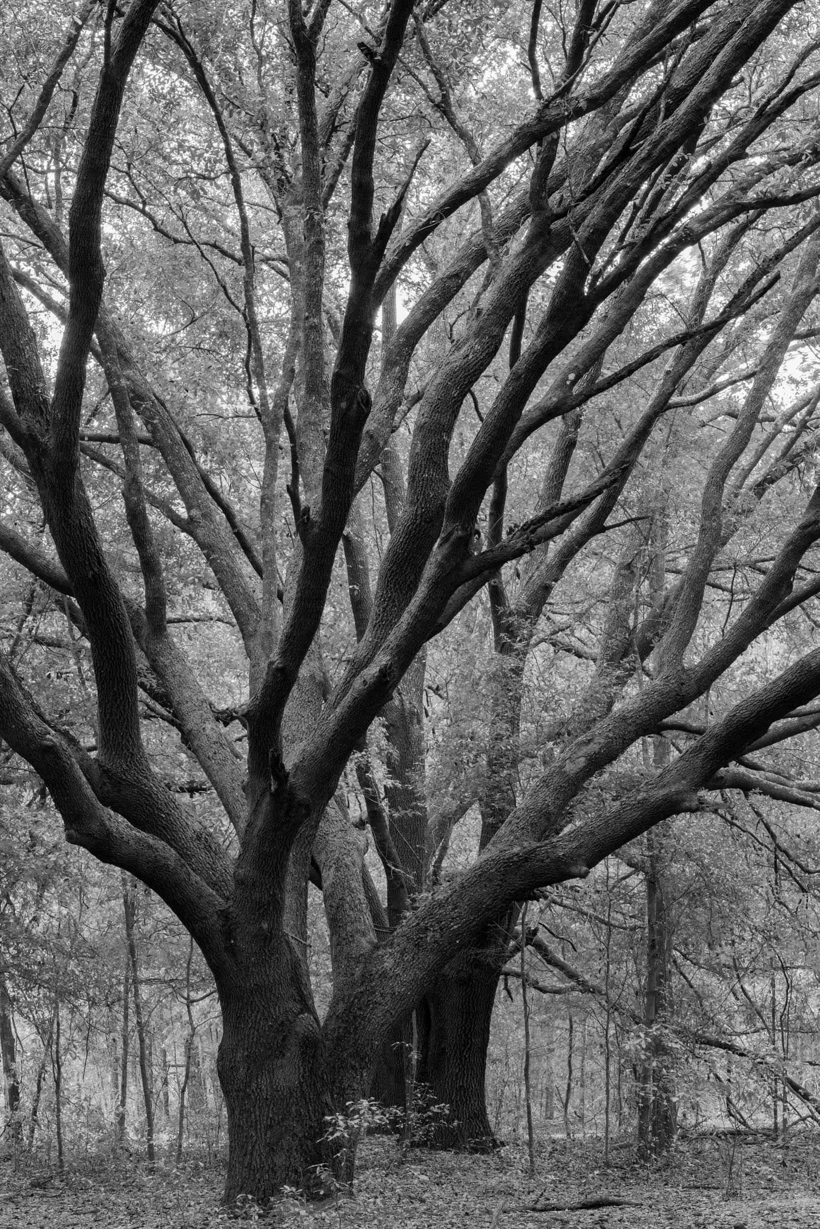 Oak Study 46