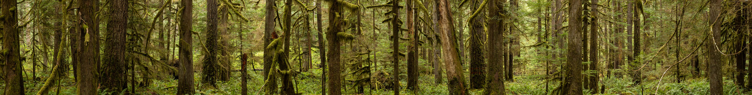 Old Growth Study 800